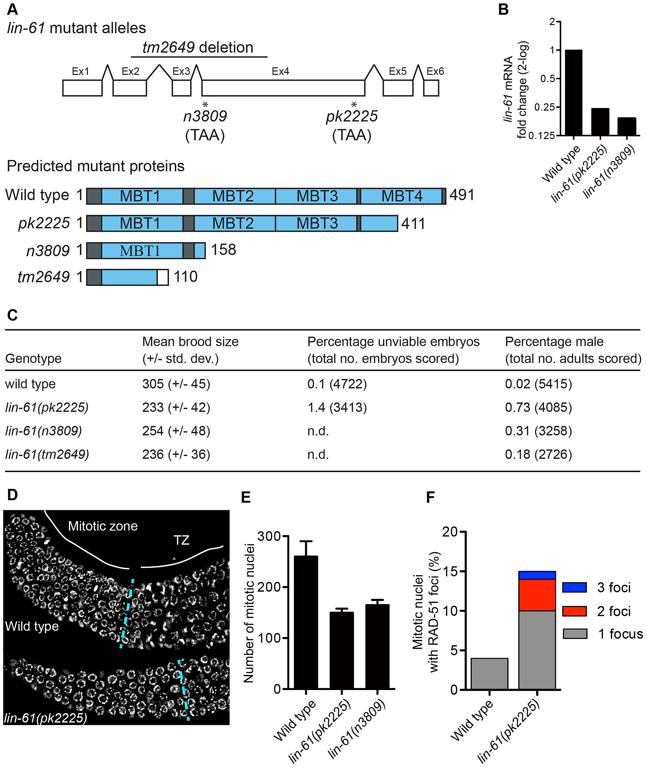 <i>lin-61</i> mutants display signs of genome instability and replication stress.