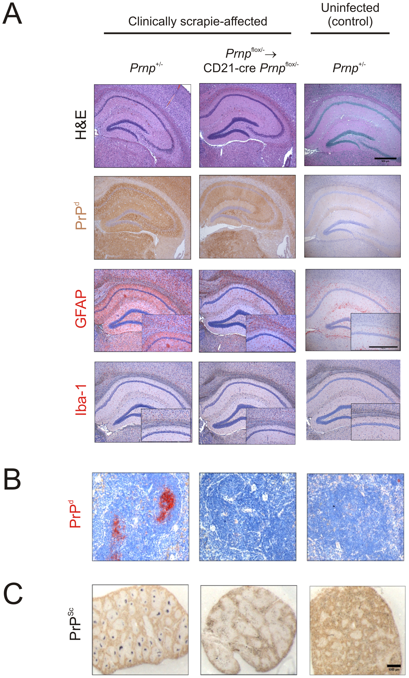 Effect of FDC-restricted PrP<sup>C</sup>-ablation on PrP<sup>Sc</sup> accumulation in the brains and spleens of scrapie-affected mice.