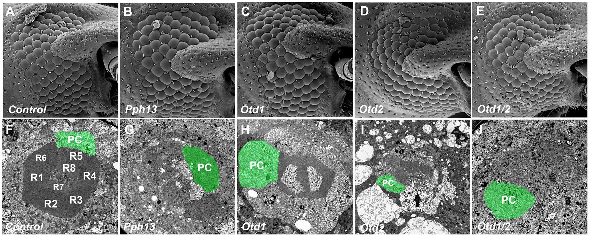 Knockdown of <i>Tribolium Pph13</i>, <i>otd1</i> and <i>otd2</i> affects rhabdomere biogenesis.