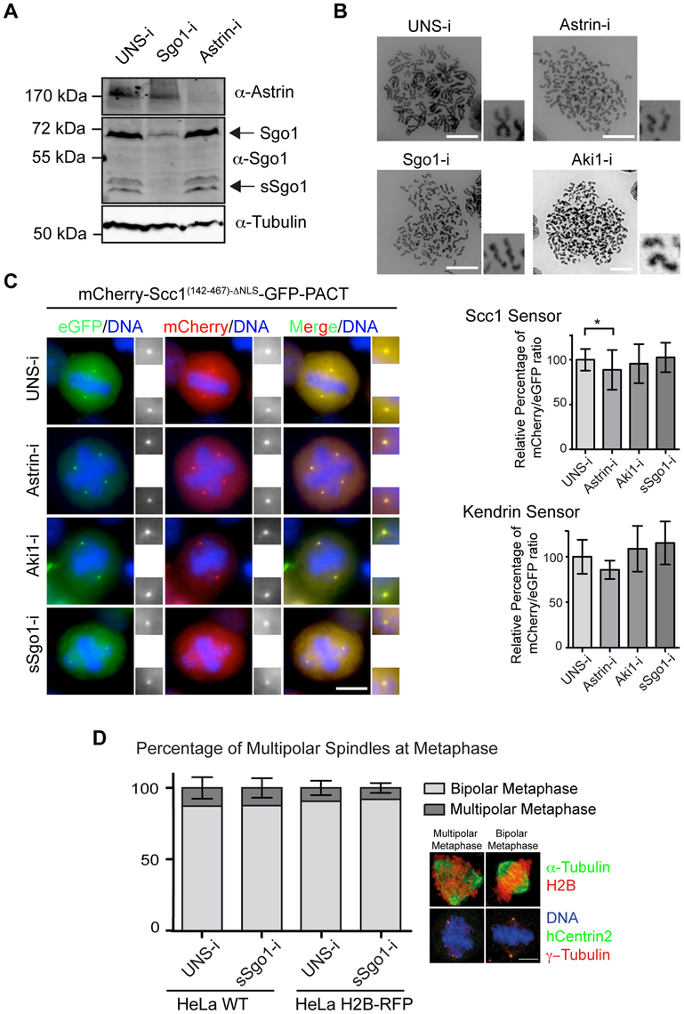 Astrin (Spag5), Aki1 and Sgo1 depletion does not promote centriole disengagement.