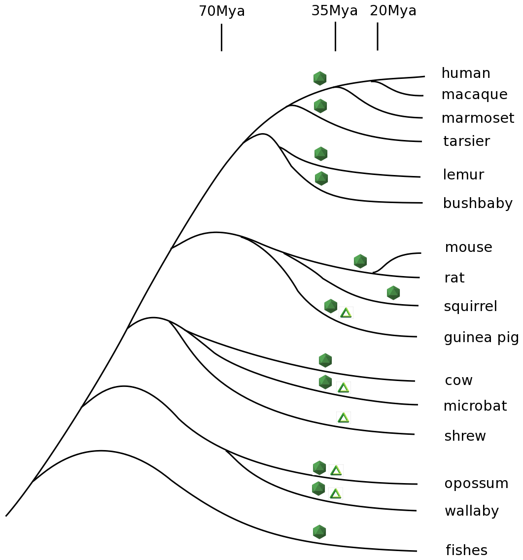 Phylogenetic tree of vertebrates that encode Bornavirus- and Filovirus- like proteins in their genomes.