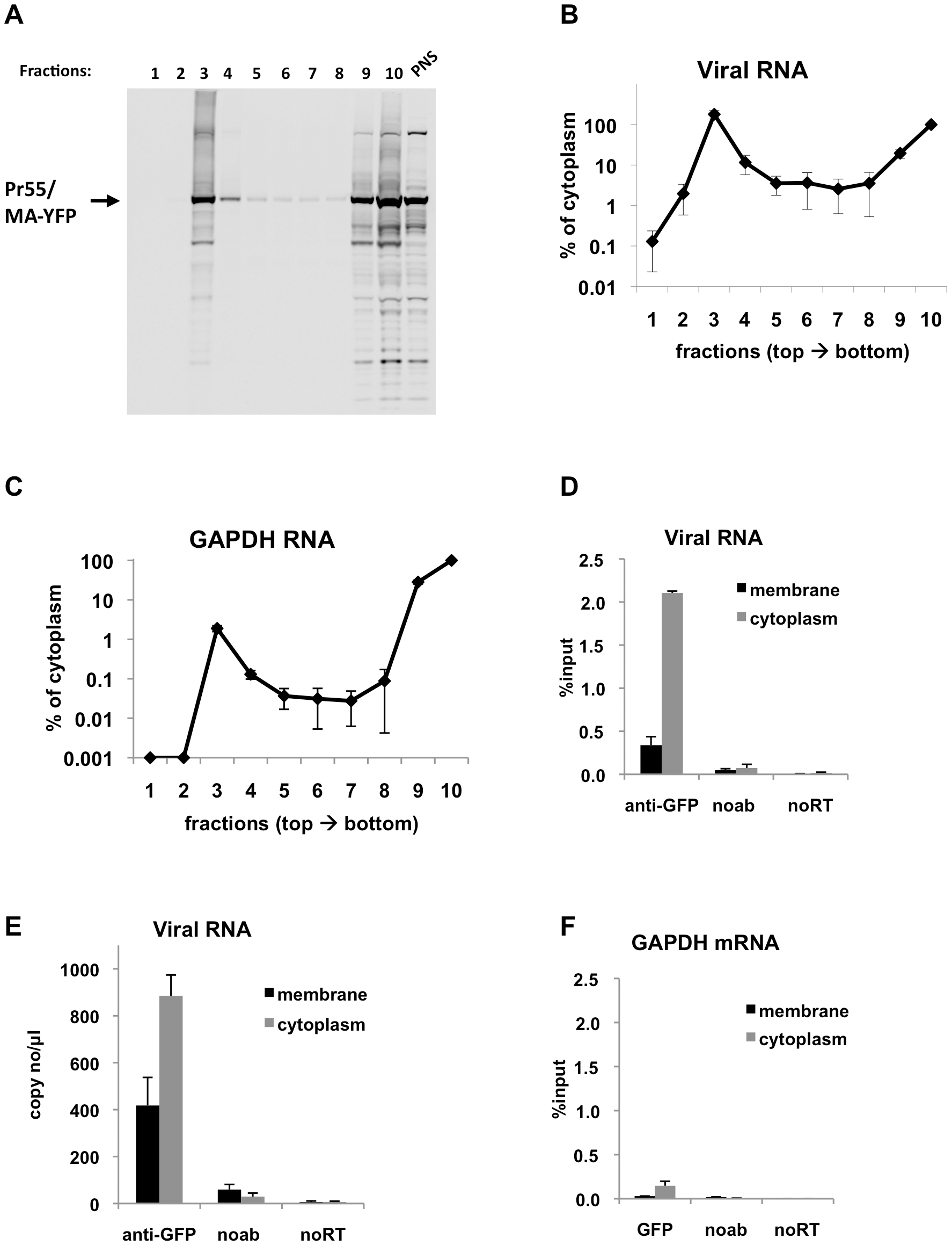Immunoprecipitation of genomic viral RNA from membrane and cytoplasmic fractions of HIV-1 infected MT2 cells.