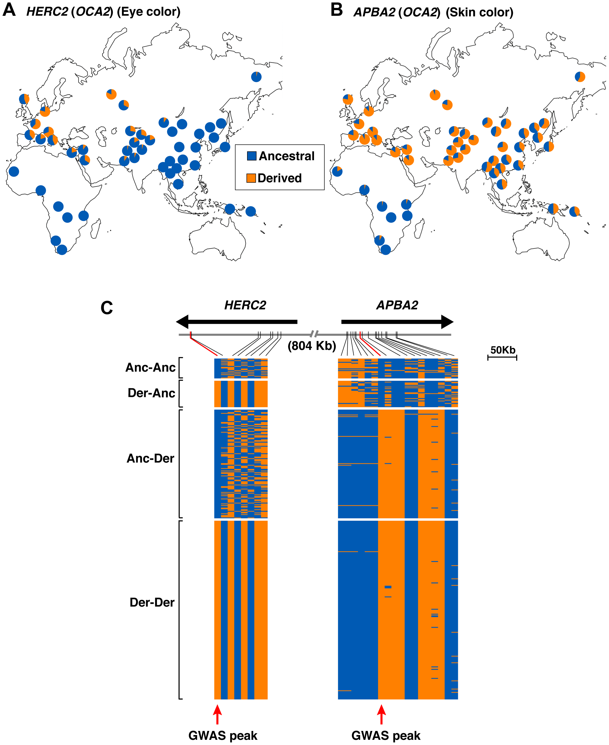 Allele frequency and haplotype analysis for eye and skin color loci at 15q13.1.
