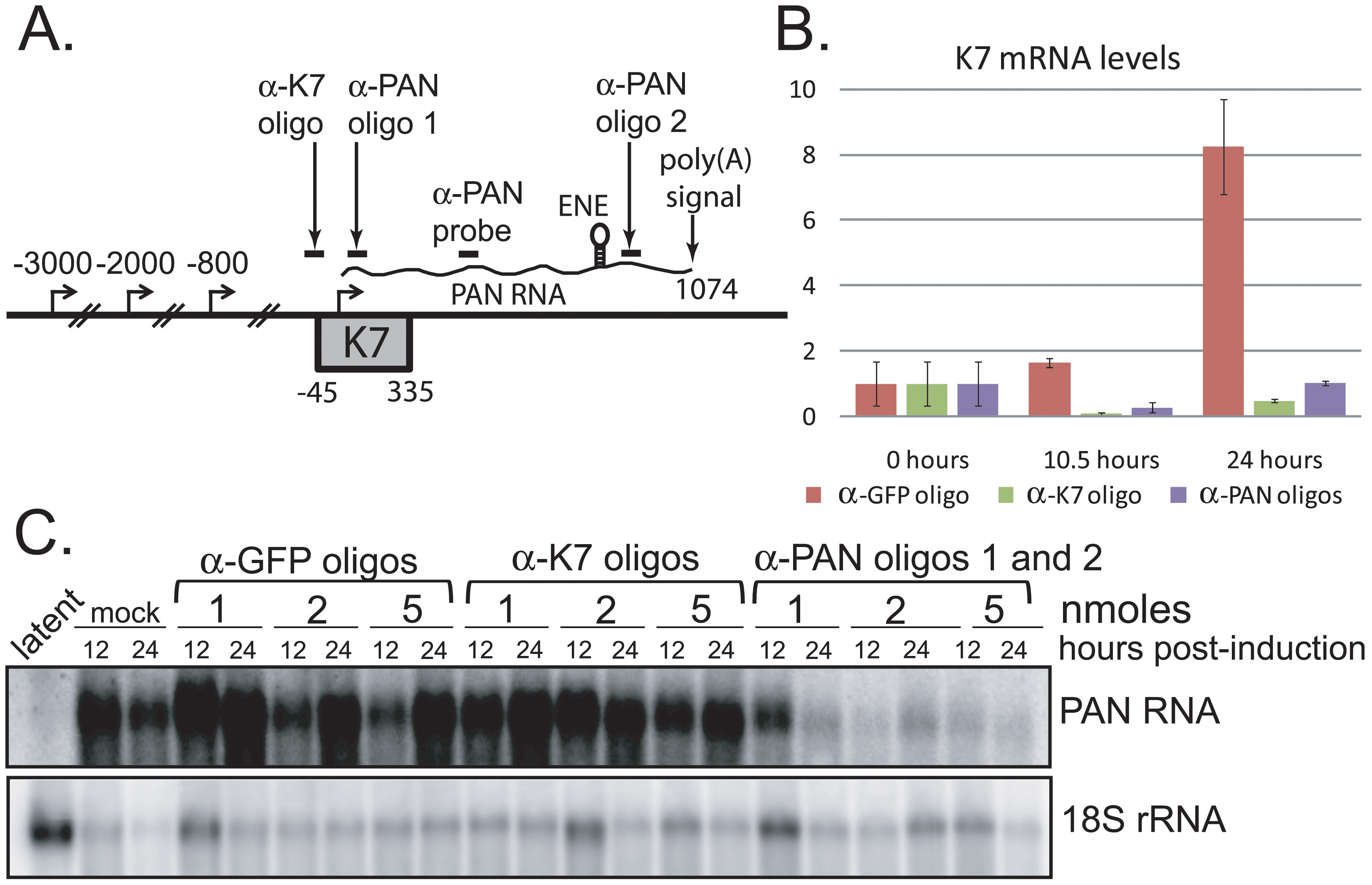 PAN RNA and K7 mRNA levels are reduced by transfection of RNase H-targeting oligonucleotides.
