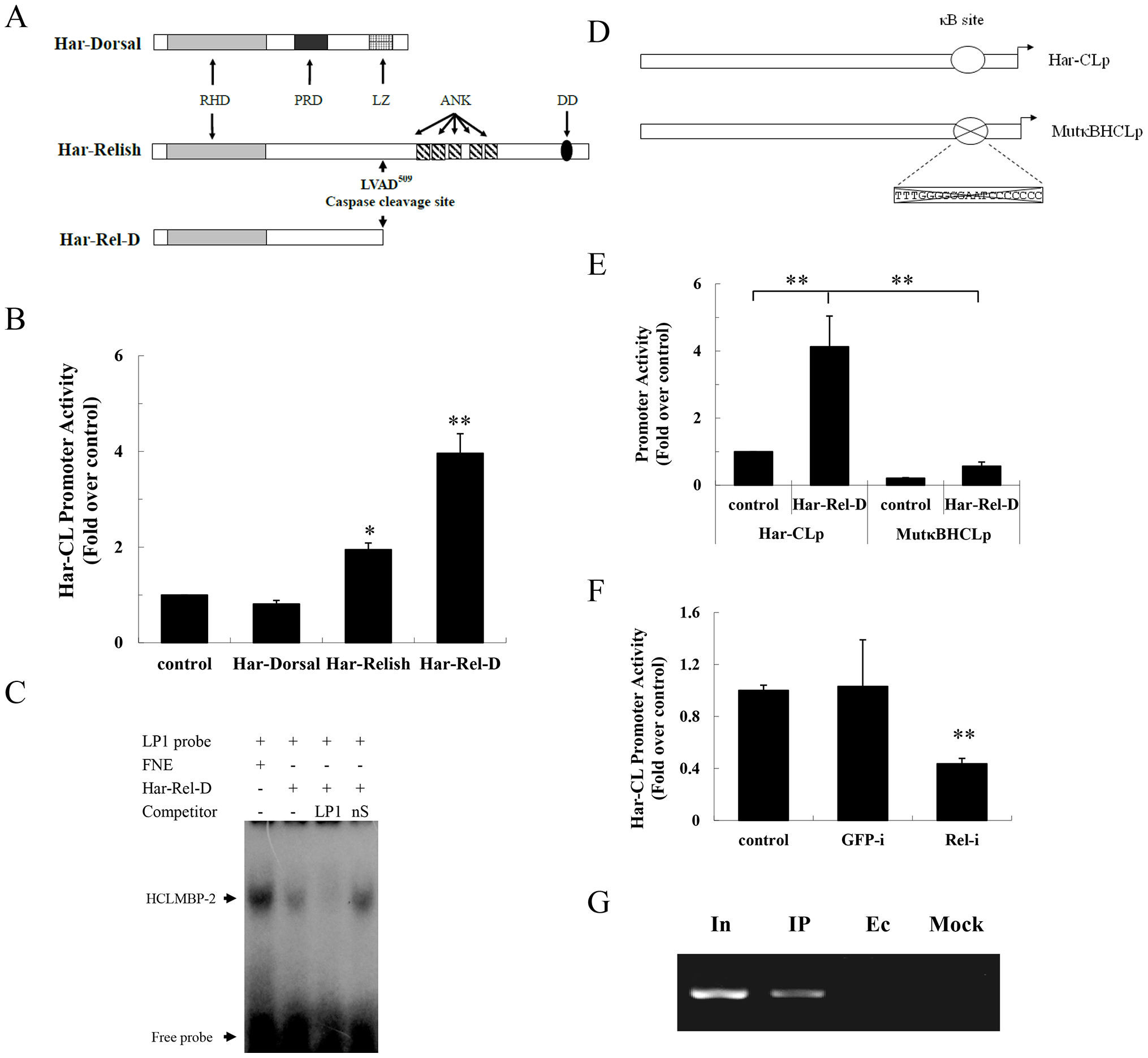 Har-Relish binding to the NF-κB-binding site and increasing Har-CL promoter activity.