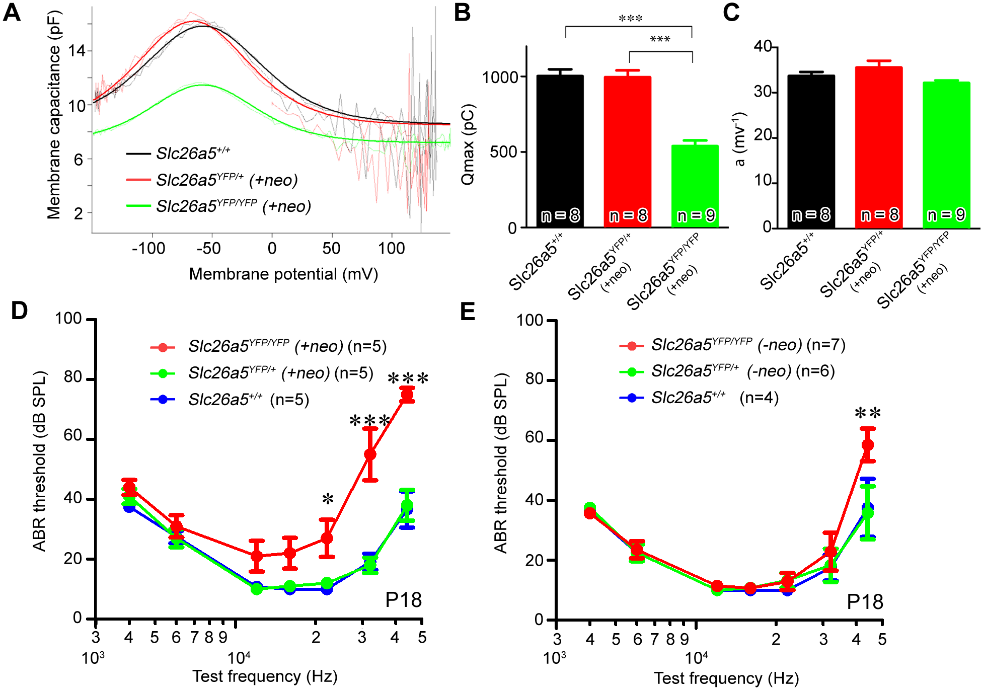 Slc26a5-YFP is functional in Slc26a5-YFP mice <i>(+neo)</i>.