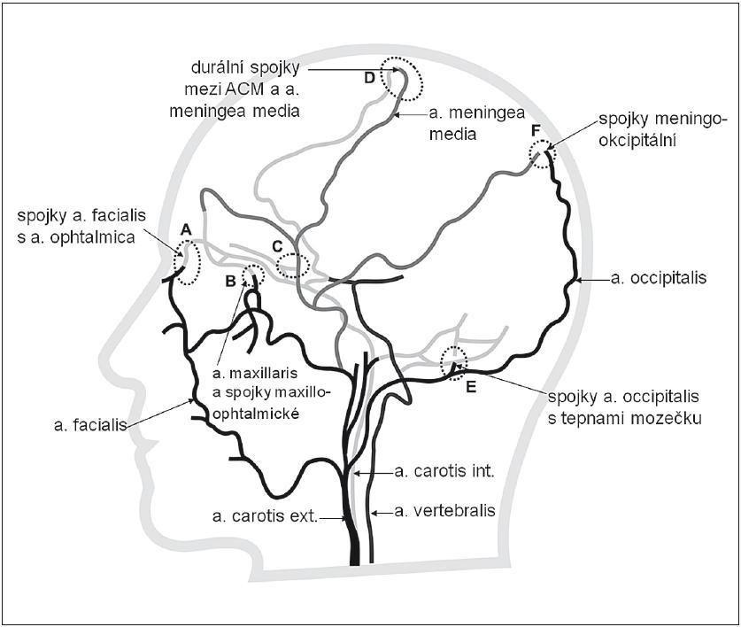 Extrakraniální systém kolaterální cirkulace (bočná projekce) znázorňující kolaterály mezi povodím a. carotis externa (černá), její větví a. meningea media (šedá) a a. carotis interna (světle šedá). A – kolaterální cirkulace cestou a. facialis a a. ophtalmica, B – kolaterály mezi povodím a. maxillaris a a. ophtalmica, C – kolaterály mezi povodím a. meningea media a a. ophtal mica, D – durální arteriální spojky – anastomózy mezi aa. meningeae a tepnami mozku, nejvíce vytvořeny v povodí a. meningea media (větev a. maxillaris, tj. systém ACE) a ACM, E – anastomózy mezi a. occipitalis s tepnami mozečku, F – anastomózy mezi a. occipitalis a parietální větví a. meningea media.