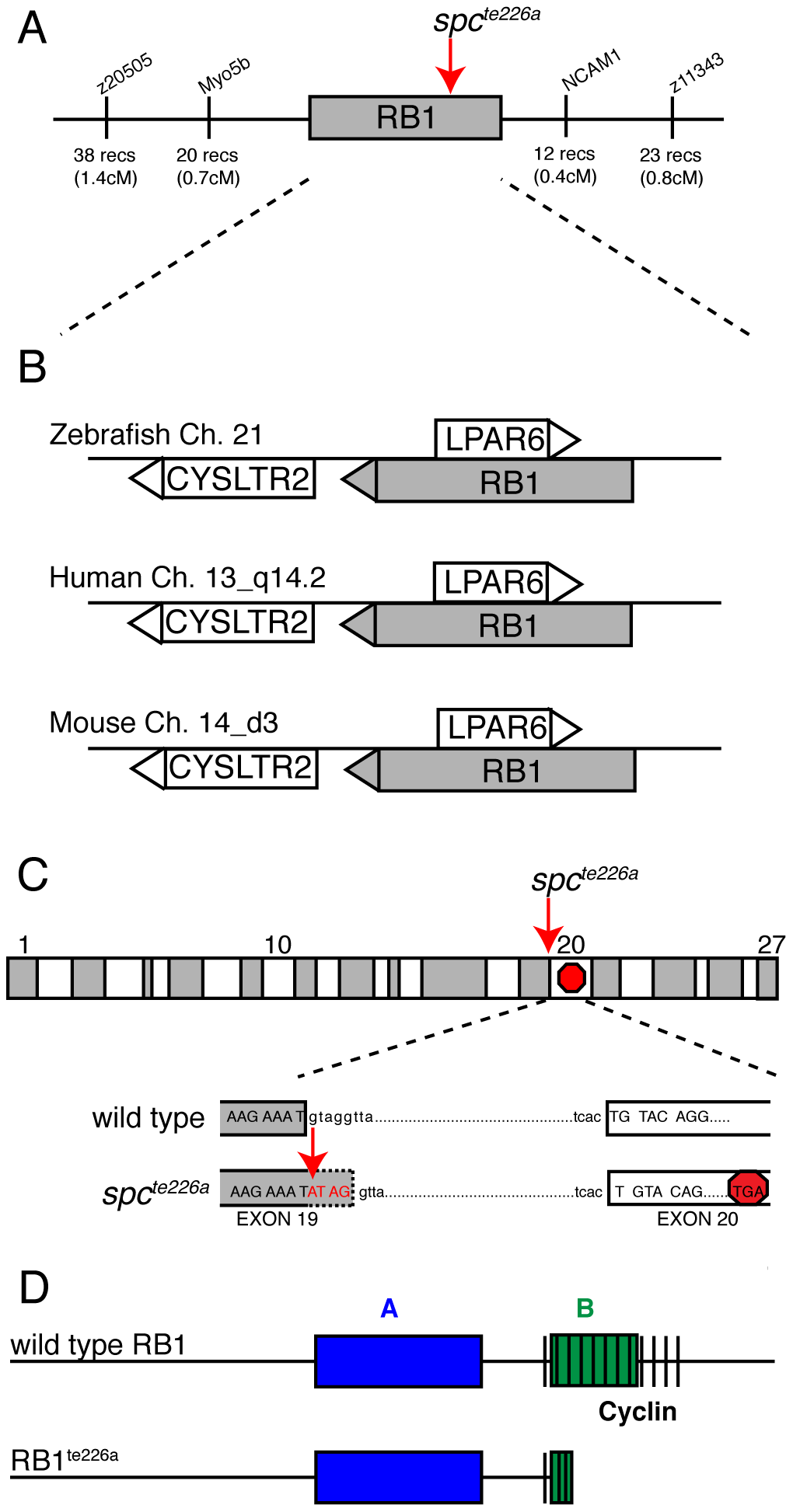 <i>spc<sup>te226a</sup></i> mutation induces a premature stop codon and truncation of Rb1.