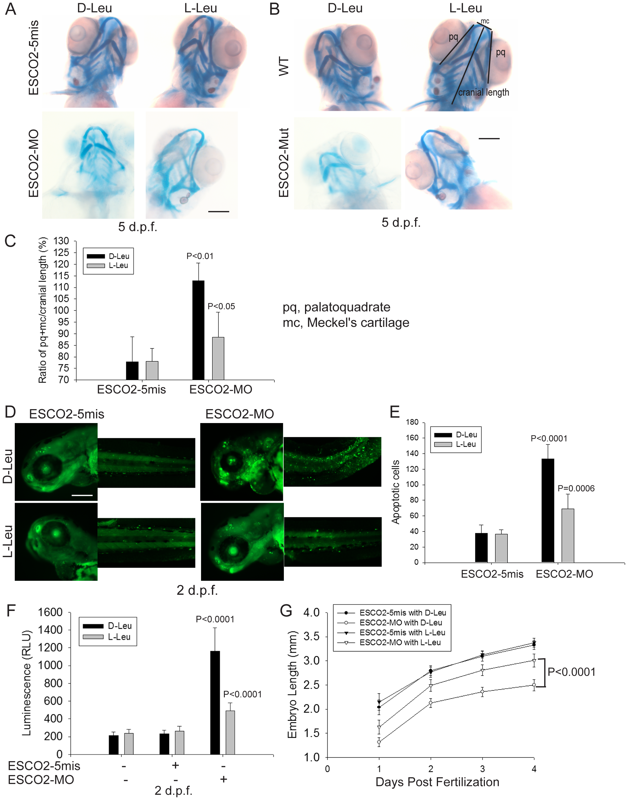 L-leucine rescues many aspects of development in ESCO2-depleted embryos.