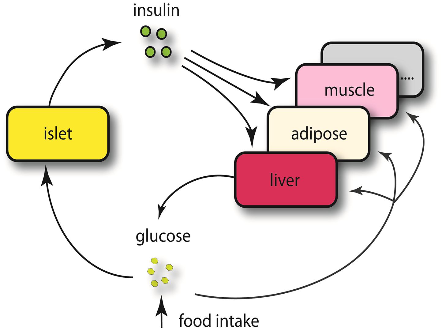 Schematics view of insulin regulation.