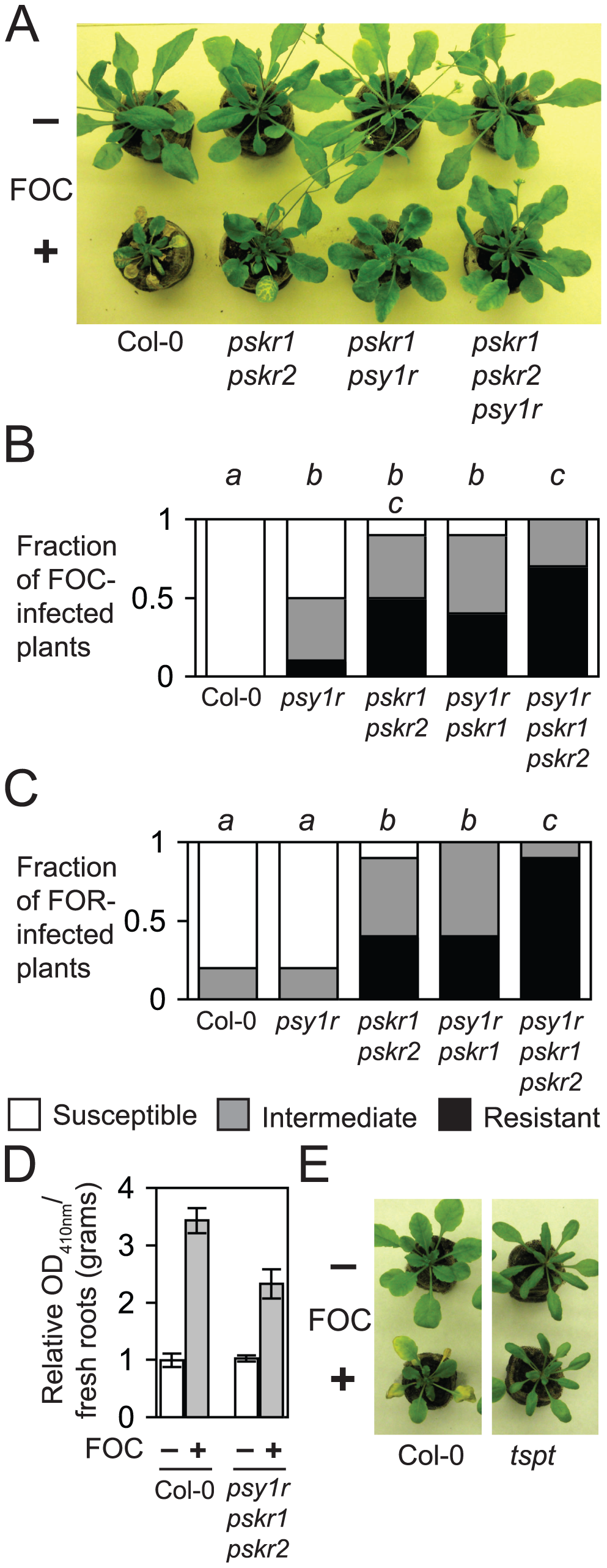 PSY1 and PSK promotes susceptibility to Fusarium wilt.