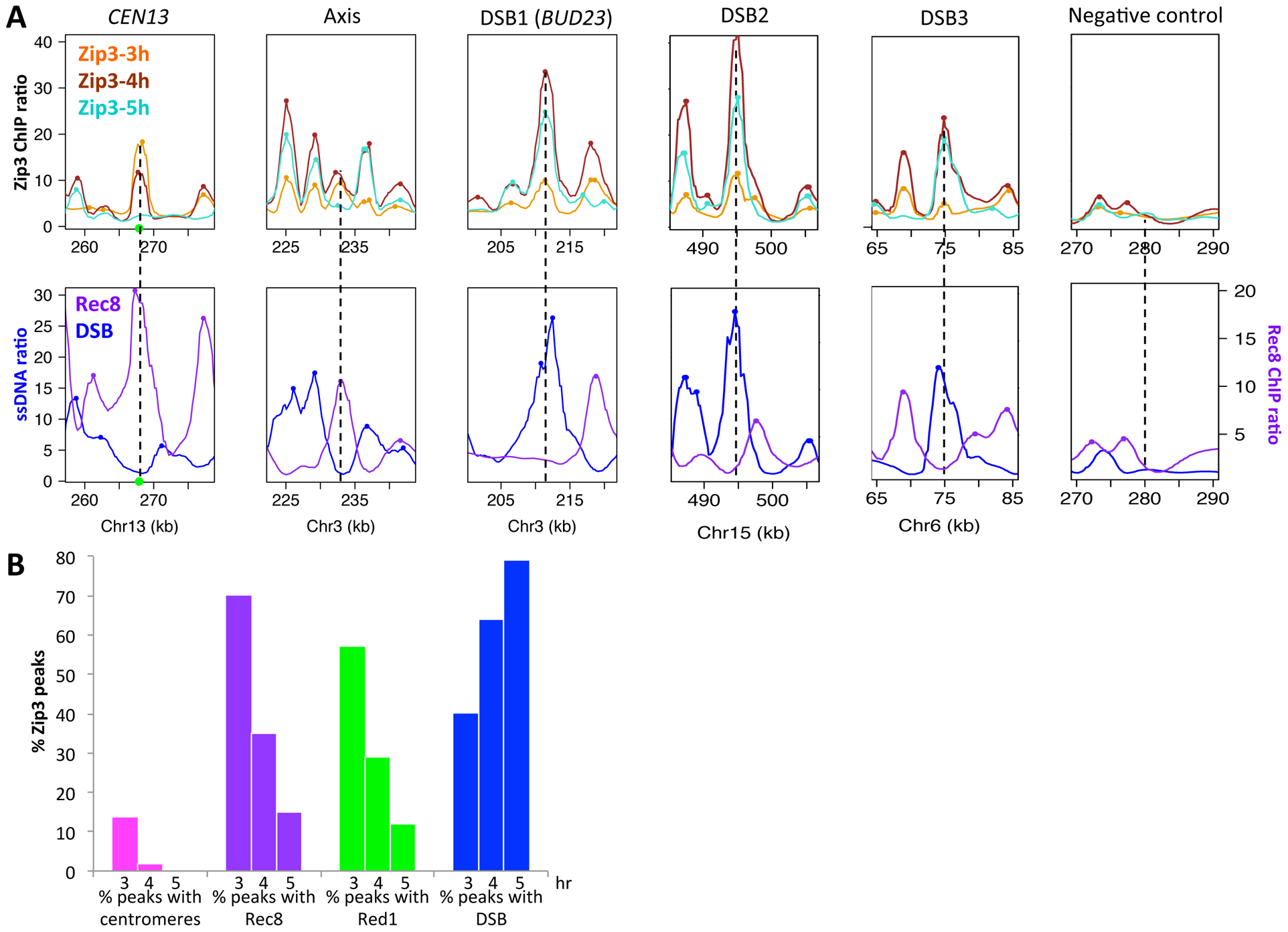 Genome-wide, Zip3 associates sequentially with different chromosomal structures.