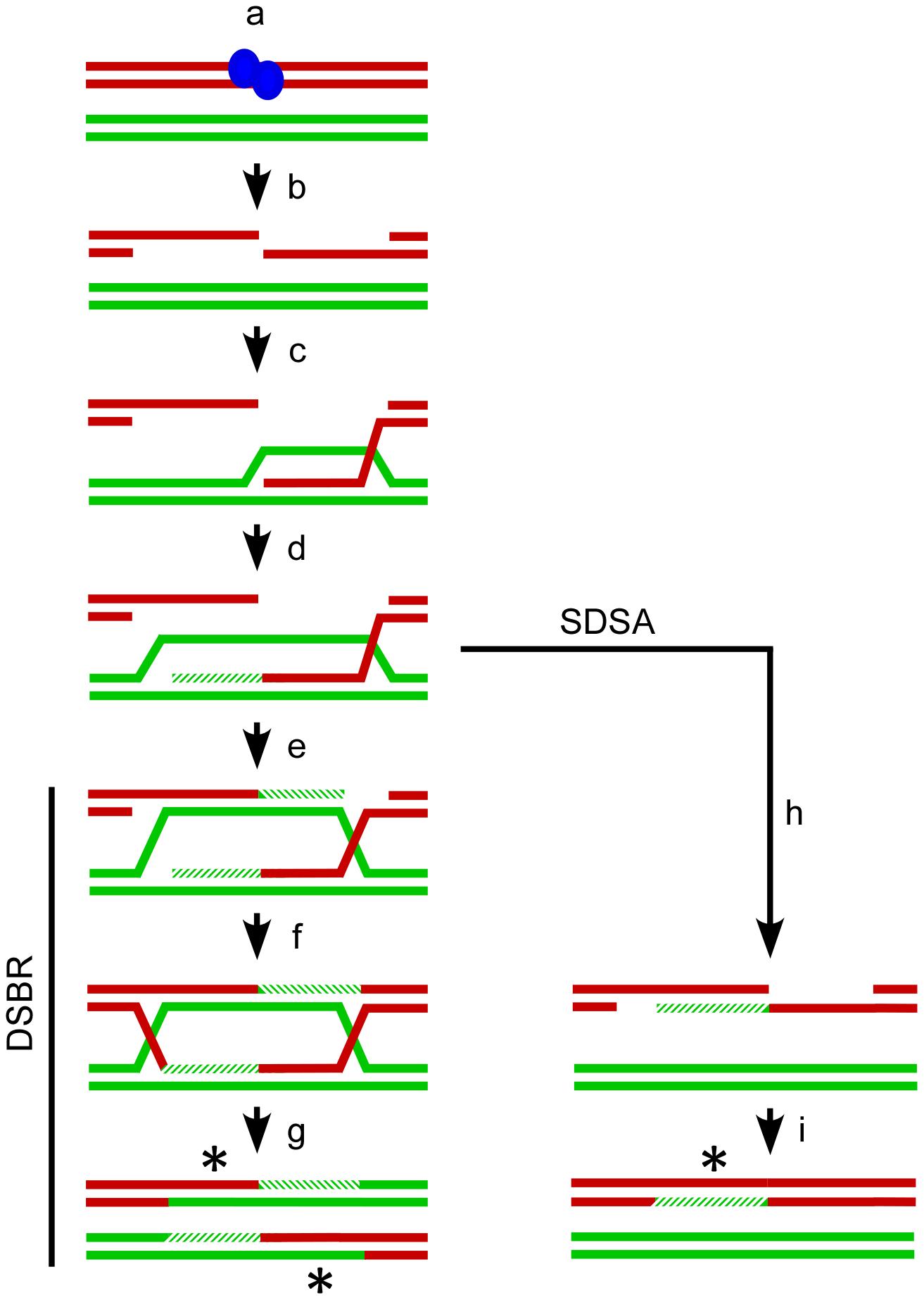 Meiotic recombination models.