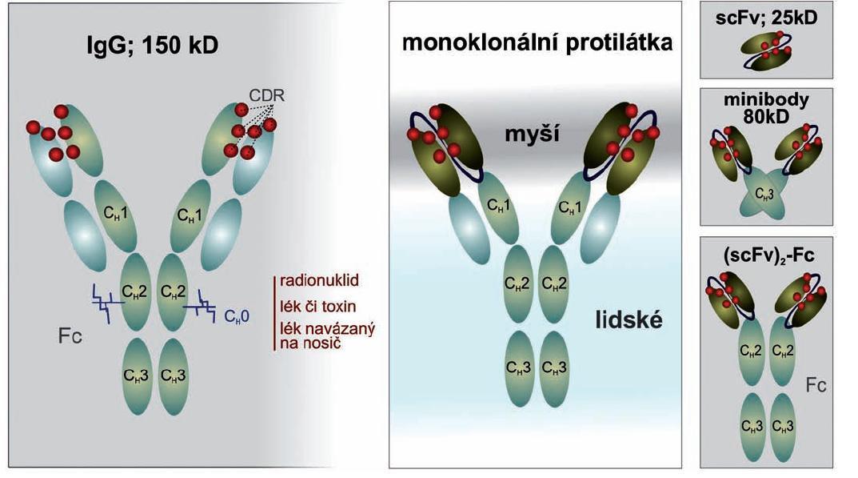Obr 1. Konjugace monoklonálních protilátek je možná s radionuklidem, lékem, toxinem, enzymem anebo s lékem spojeným s dalším nosičem. Nejmenší antigen-vázající fragment je jediný řetězec (scFv), který je představován VL a VH řetězci (společně nazývané Fv), který je spojen s 15–18 aminokyselinami. scFv je monovalentní, ale tvoří vzor pro multivalentní molekuly. scFv bývá spojen s CH3 za vzniku miniprotilátek či geneticky modifikovaným Fc fragmenem, aby poskytl bivalentní vazbu.