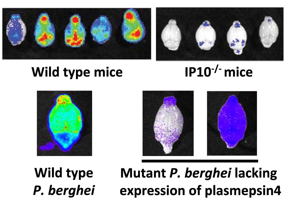 Imaging of transgenic <i>P. berghei</i> ANKA parasites in brains of mice ex vivo.