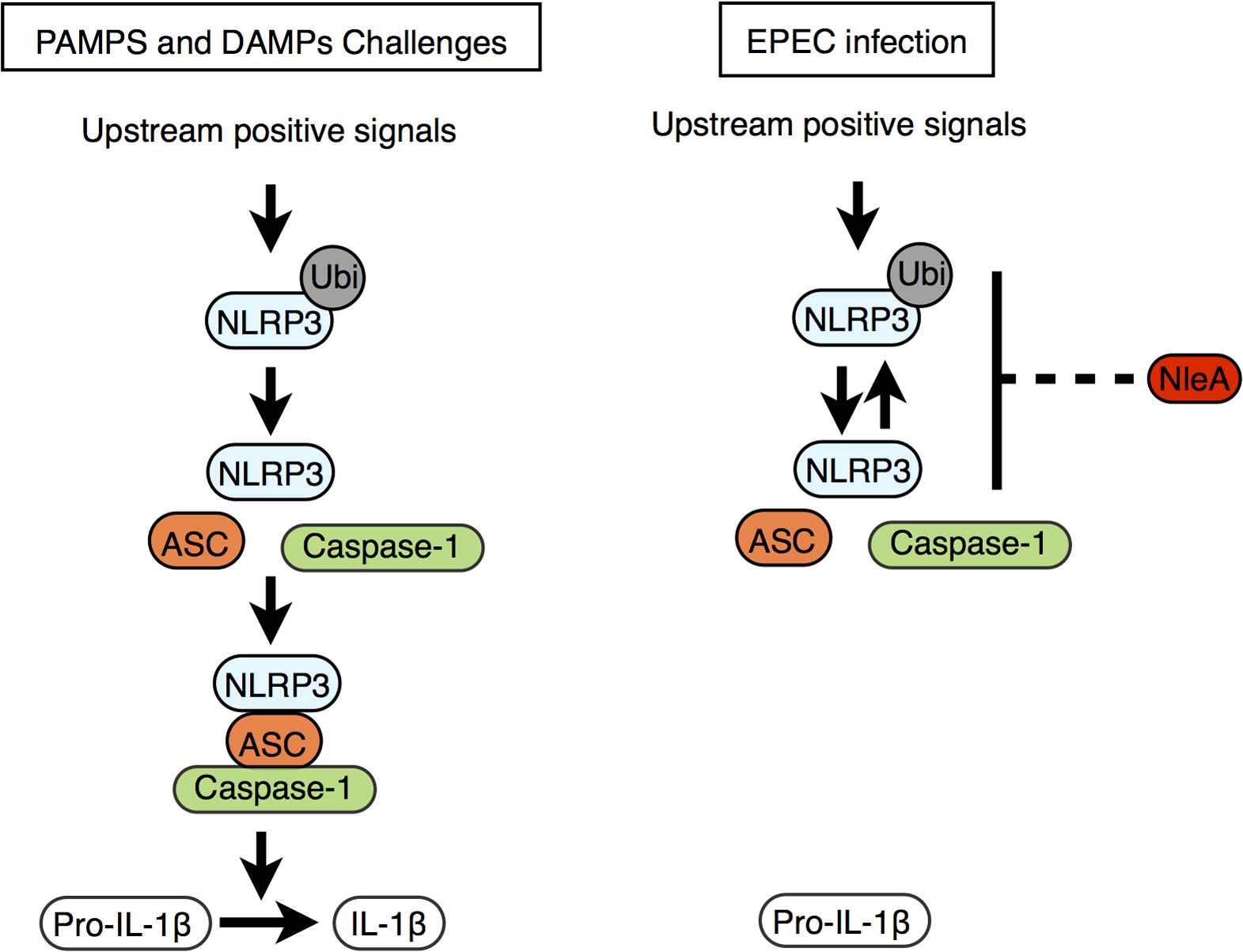 Proposed function of NleA as an inhibitor of NLRP3.