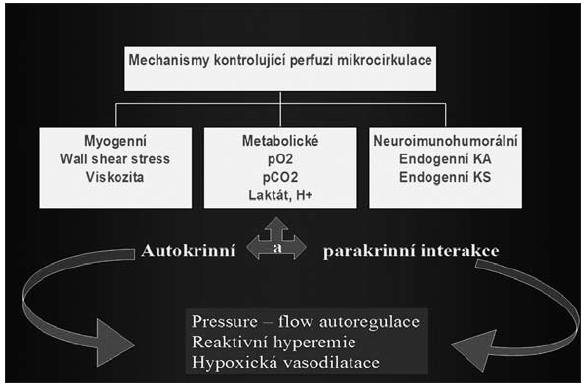 Obr. 2A. Intrinzické mechanismy regulující střevní perfuzi KA – katecholaminy, KS – kortikosteroidy