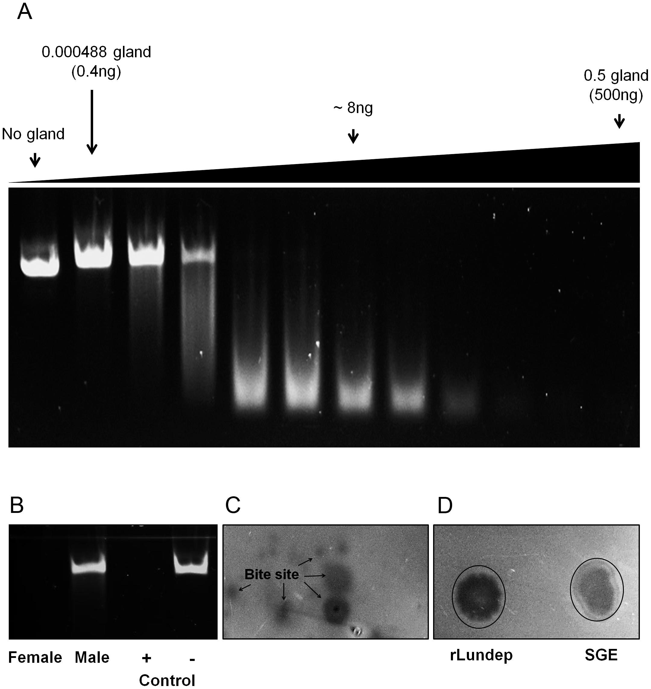 DNase activity in <i>Lutzomyia longipalpis</i> salivary gland extract (SGE) and recombinant Lundep (rLundep).