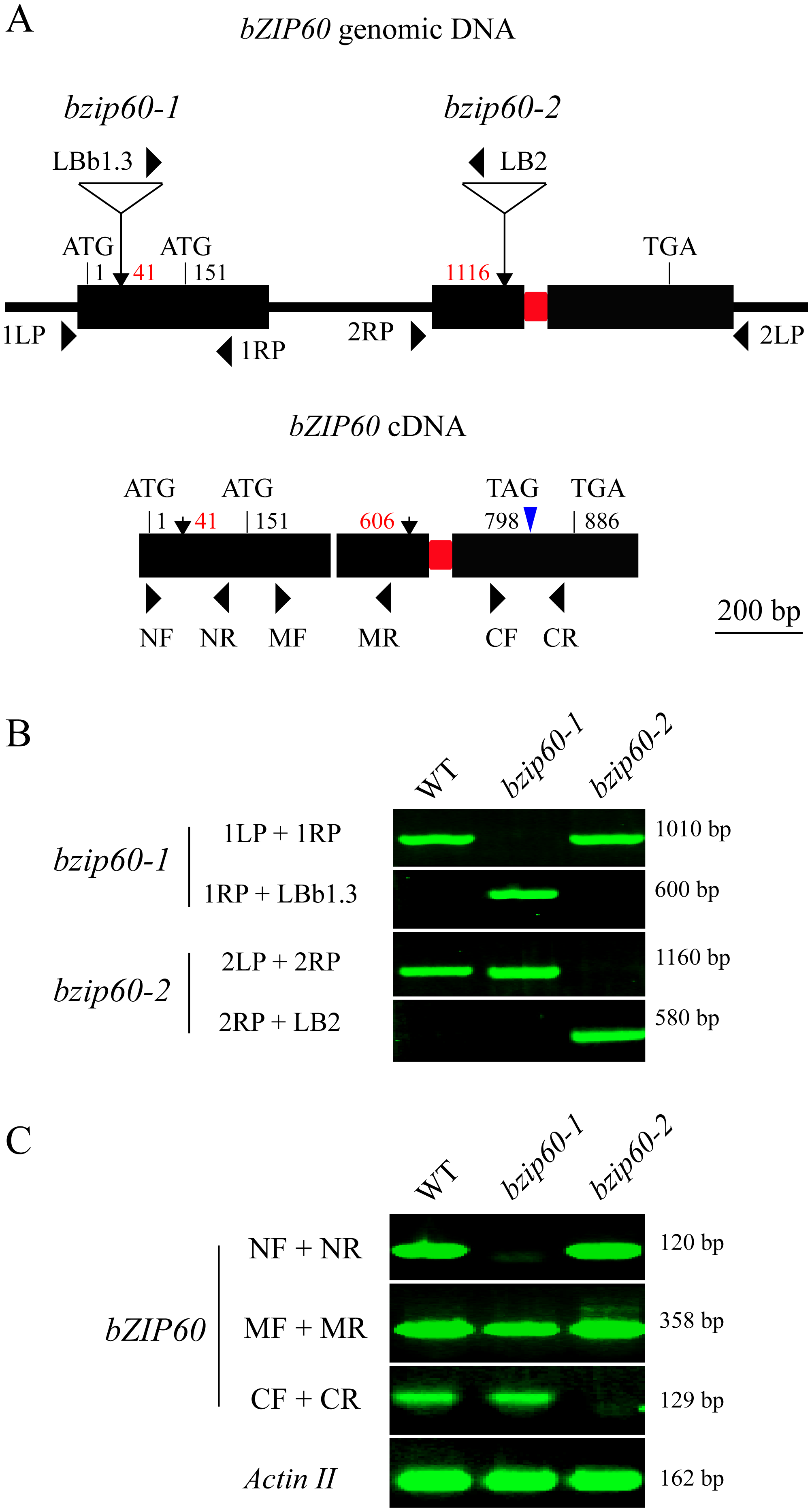 Molecular characterization of the <i>bzip60</i> mutants.