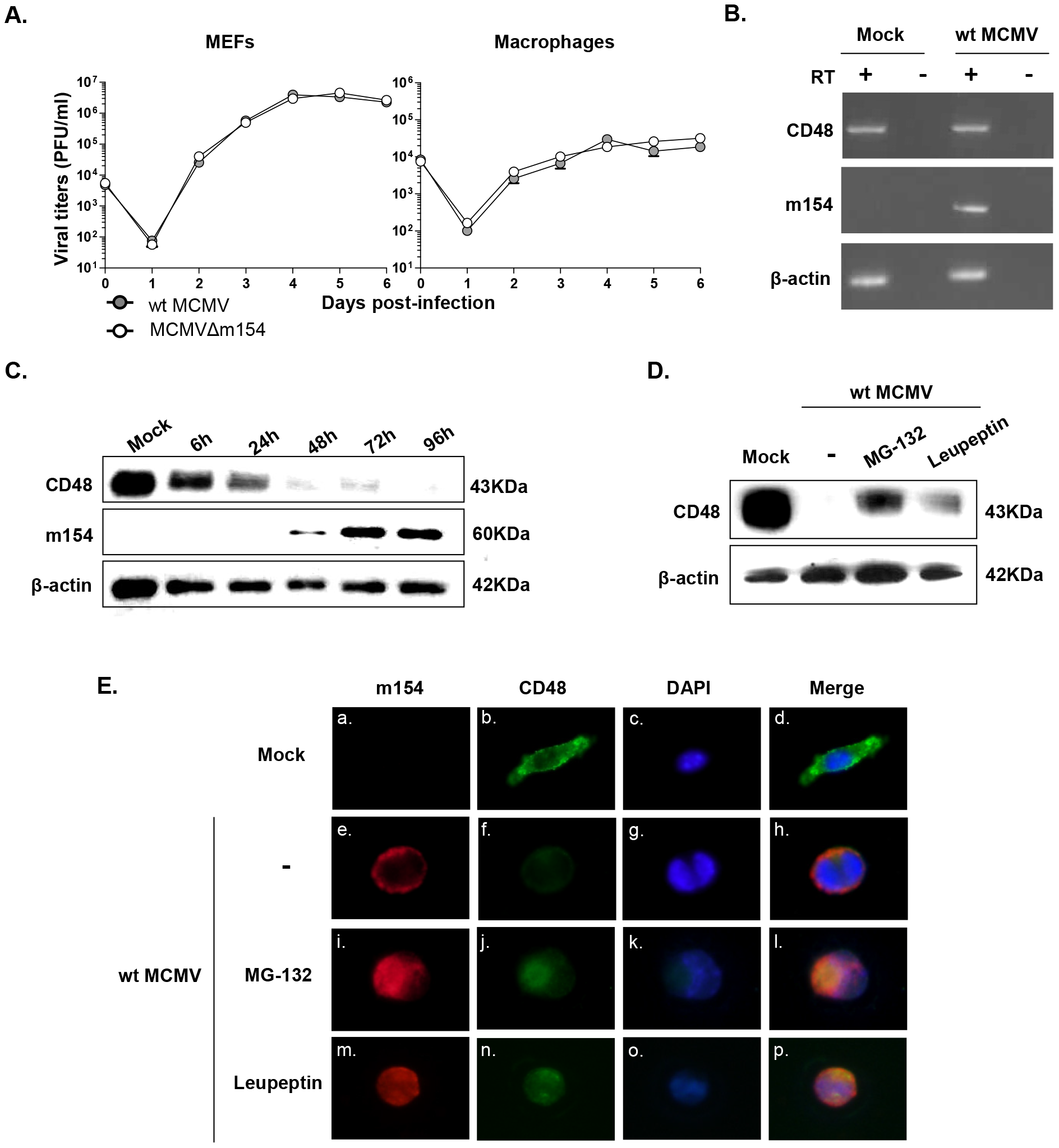 CD48 undergoes proteolytic degradation during MCMV infection.