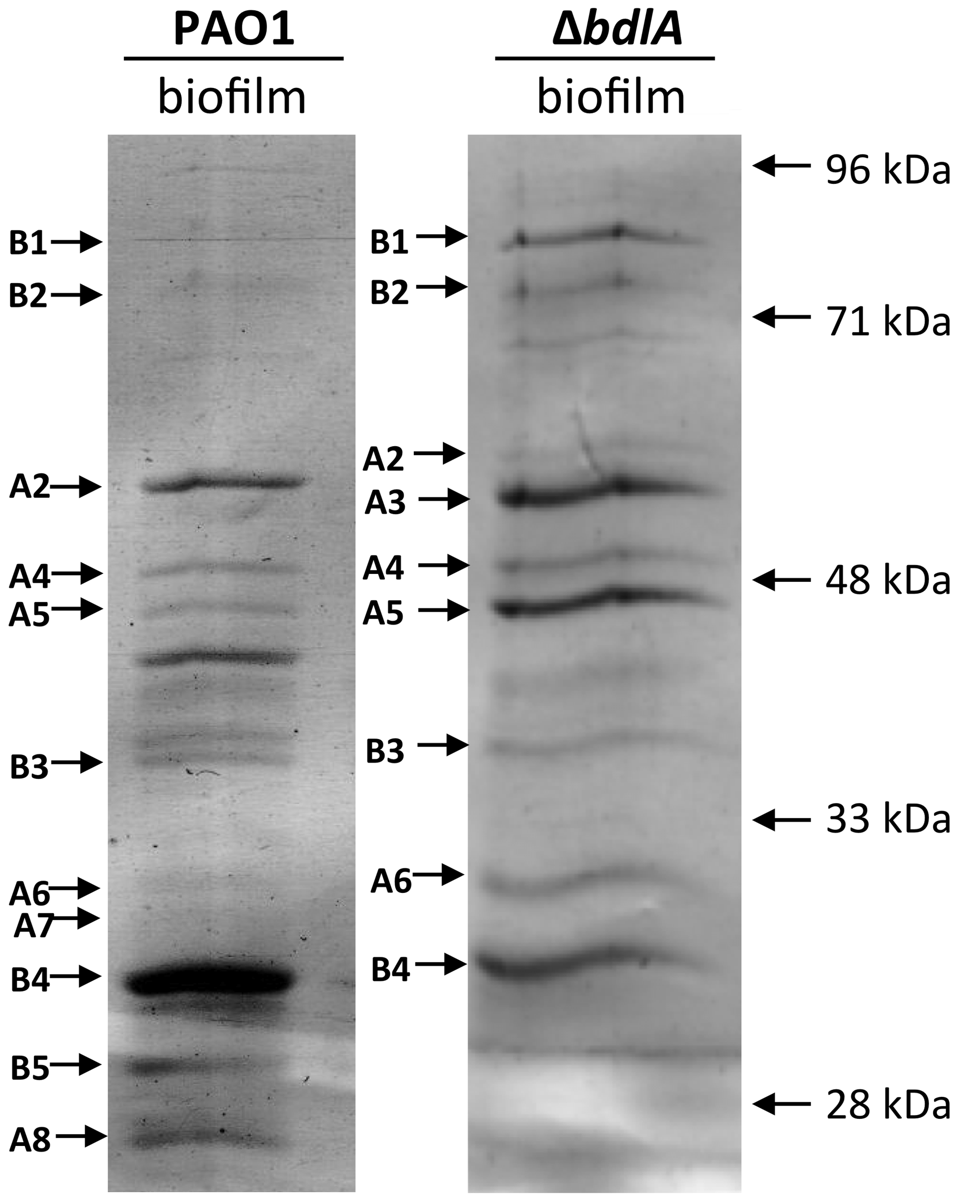 Analysis of proteins present in supernatants of <i>P.</i> aeruginosa PAO1 and <i>ΔbdlA</i> biofilms.