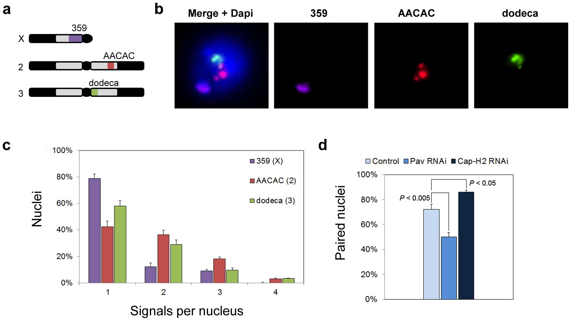Heterochromatic pairing in Drosophila cell culture.