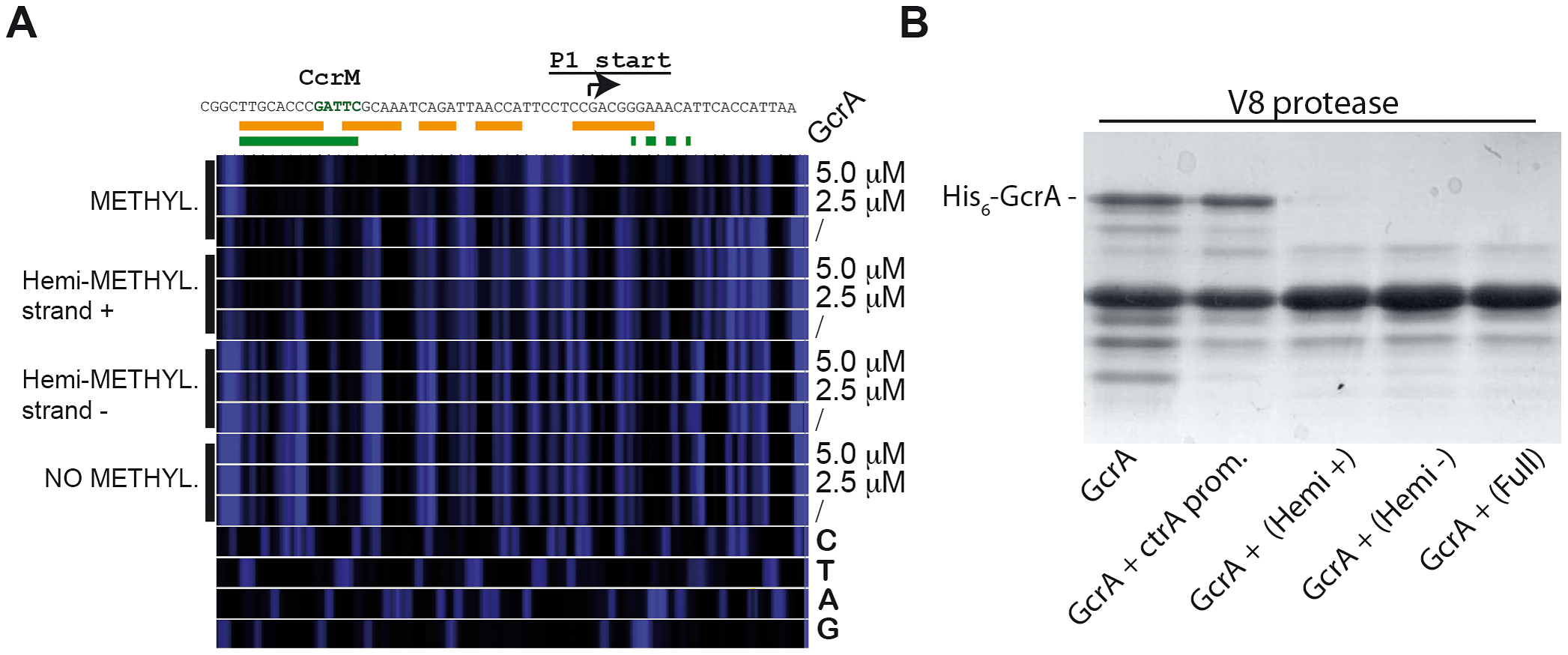 Binding of GcrA to DNA in different GAnTC methylation states and conformation al changes of GcrA induced by DNA.