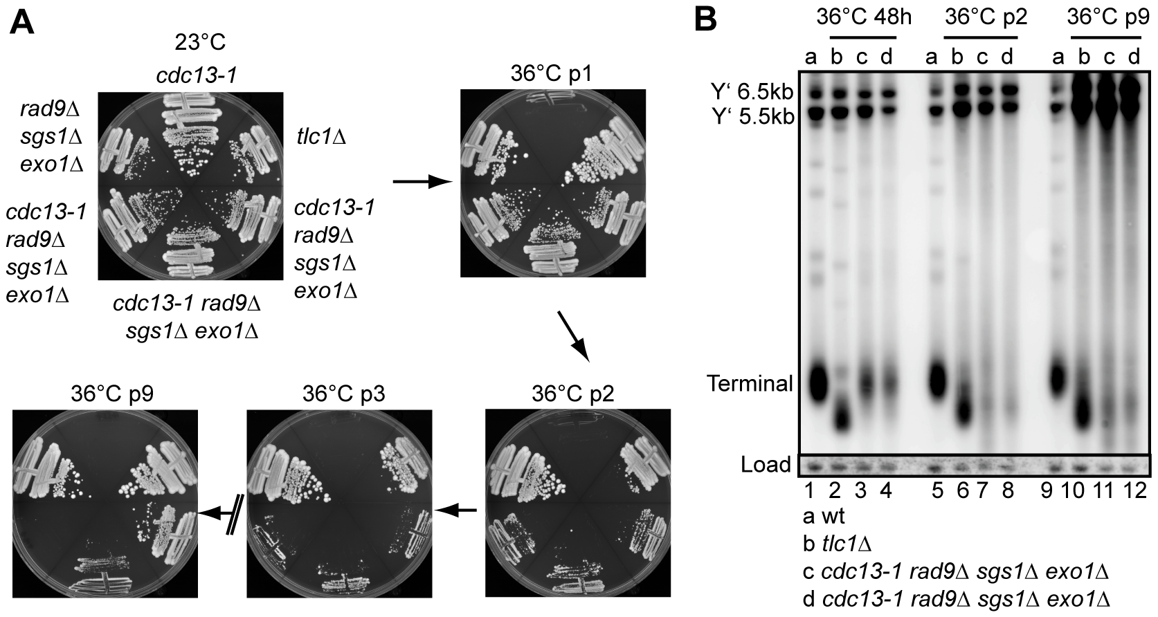 Cellular response to long term absence of Cdc13.