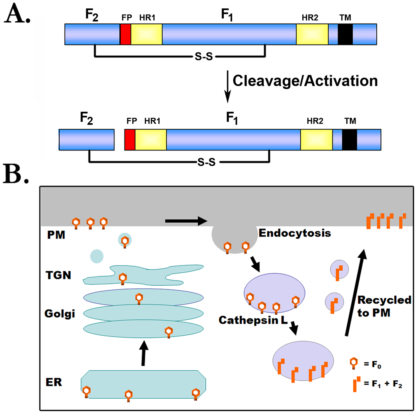 Proteolytic processing of the henipavirus fusion proteins.