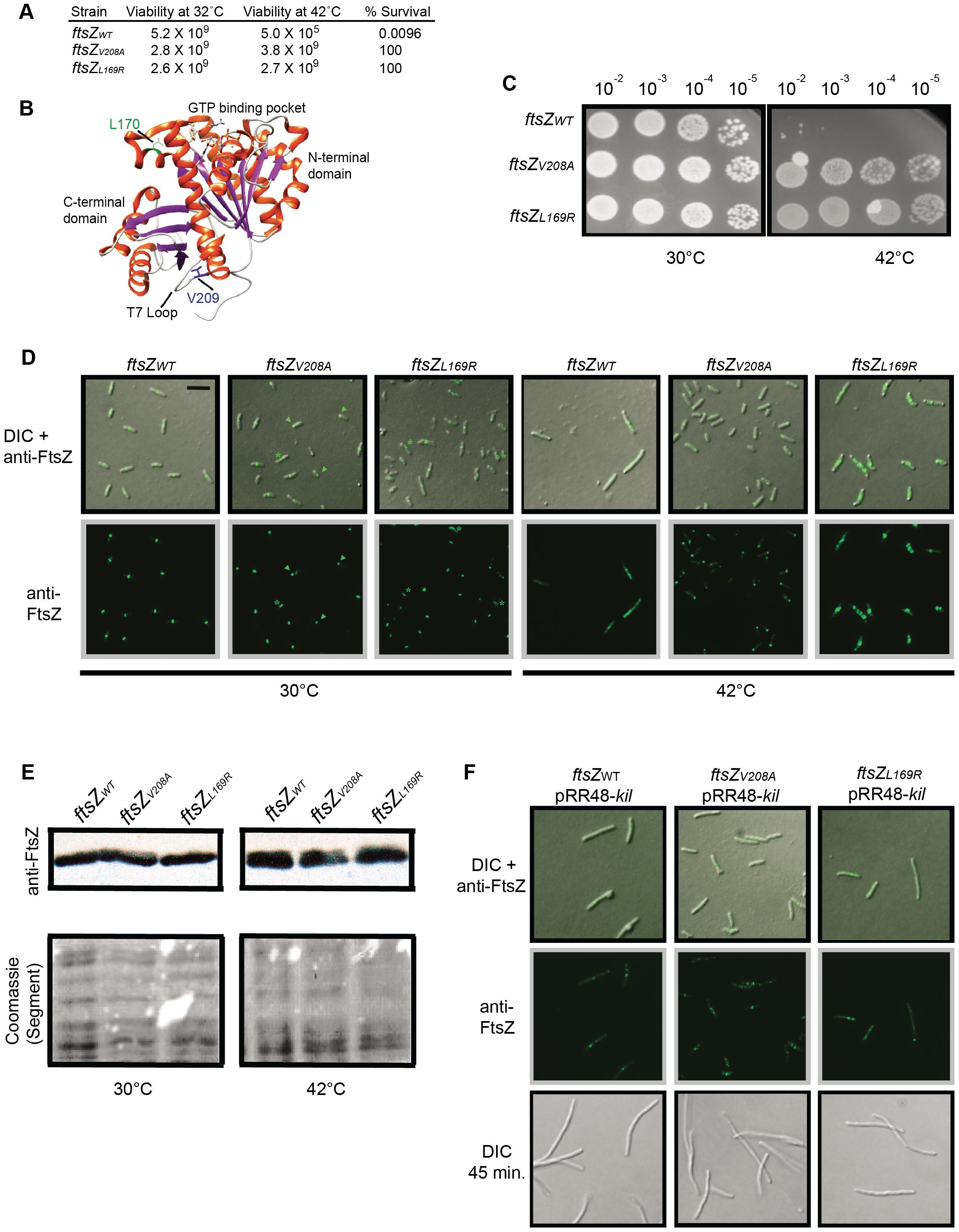 Characterization of Kil-resistant <i>ftsZ</i> alleles.