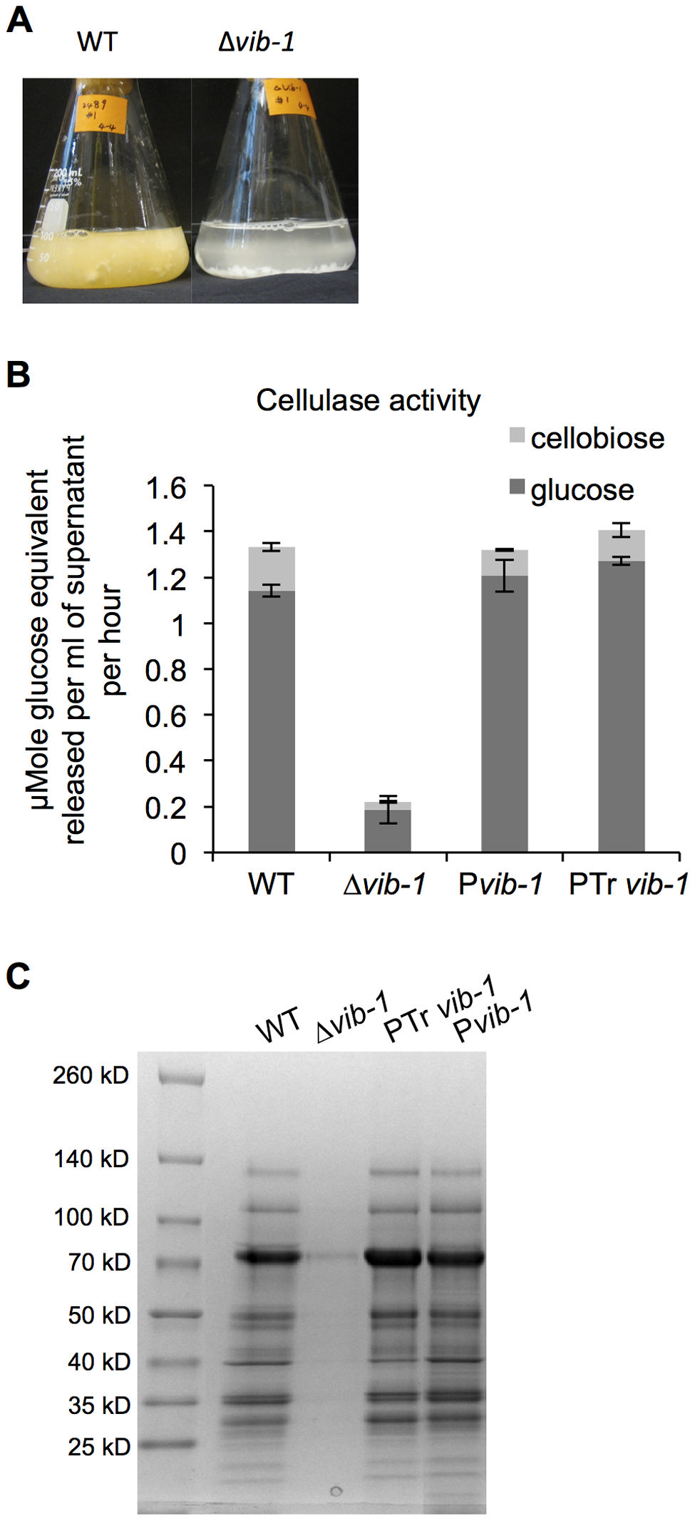 Deletion of <i>vib-1</i> abolishes production of cellulases and utilization of cellulosic material.