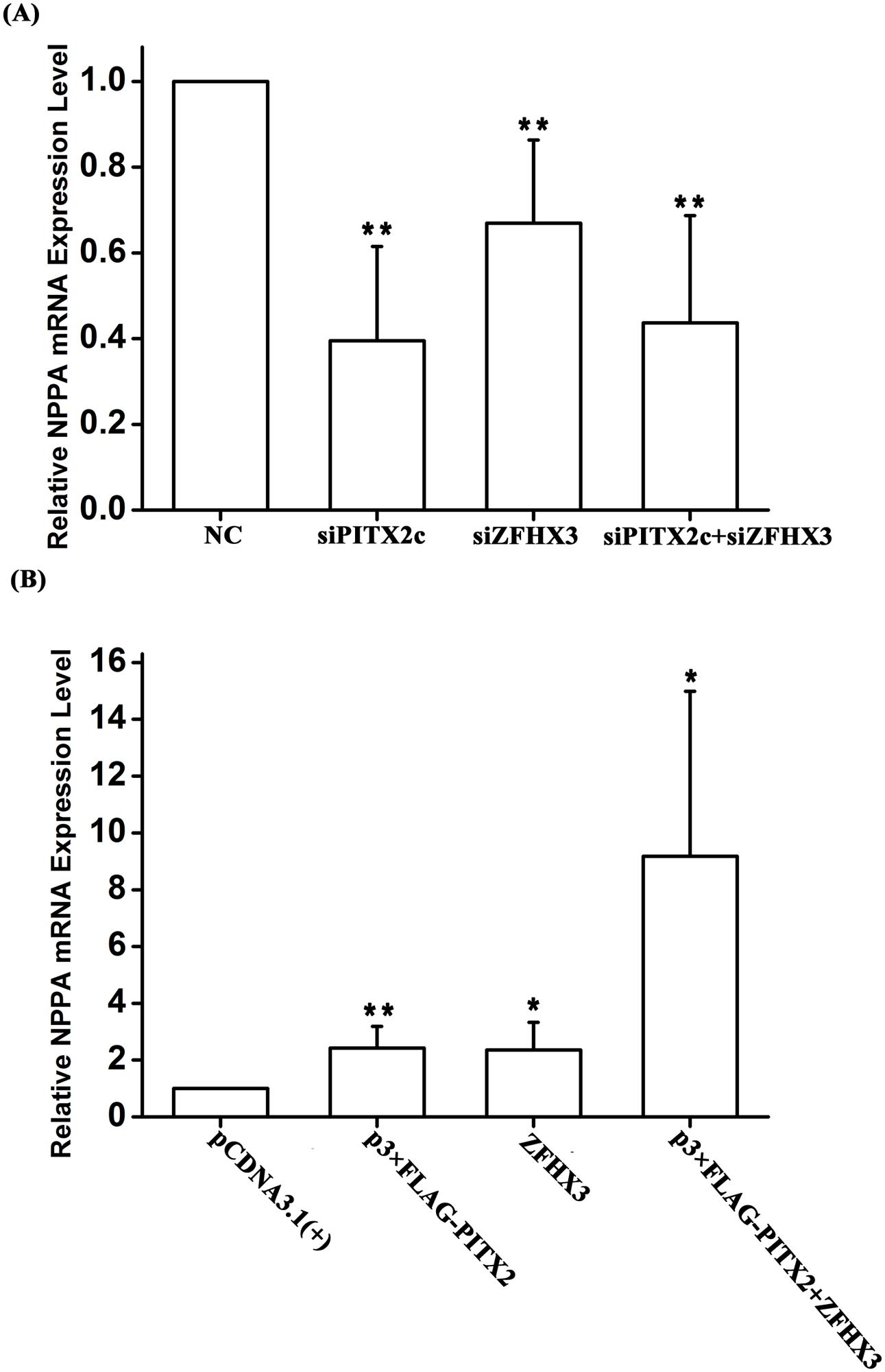 Both <i>PITX2c</i> and <i>ZFHX3</i> positively regulate expression of the <i>NPPA</i> transcription.