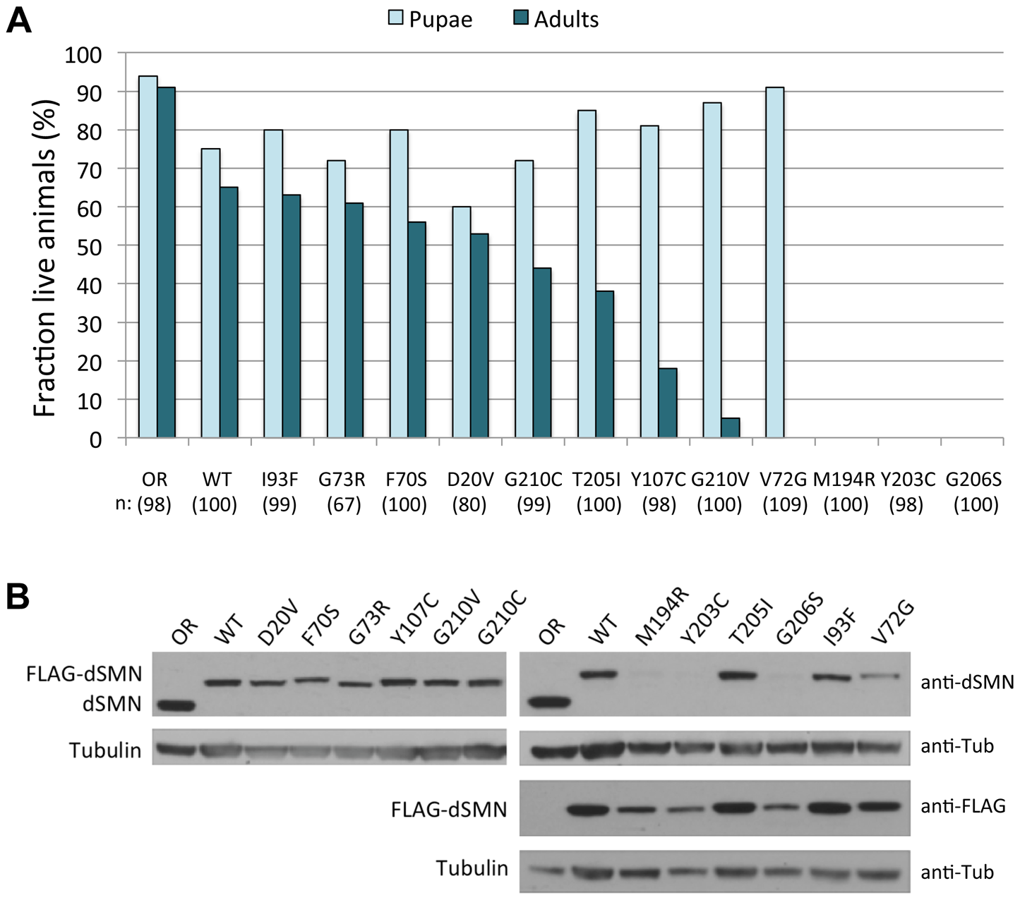 SMA patient-derived mutations show a range of life expectancies in <i>Drosophila</i>.