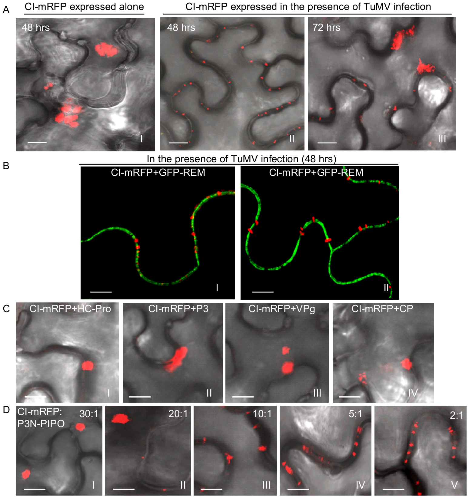 Subcellular localization of TuMV CI in <i>N. benthamiana</i> leaf cells.