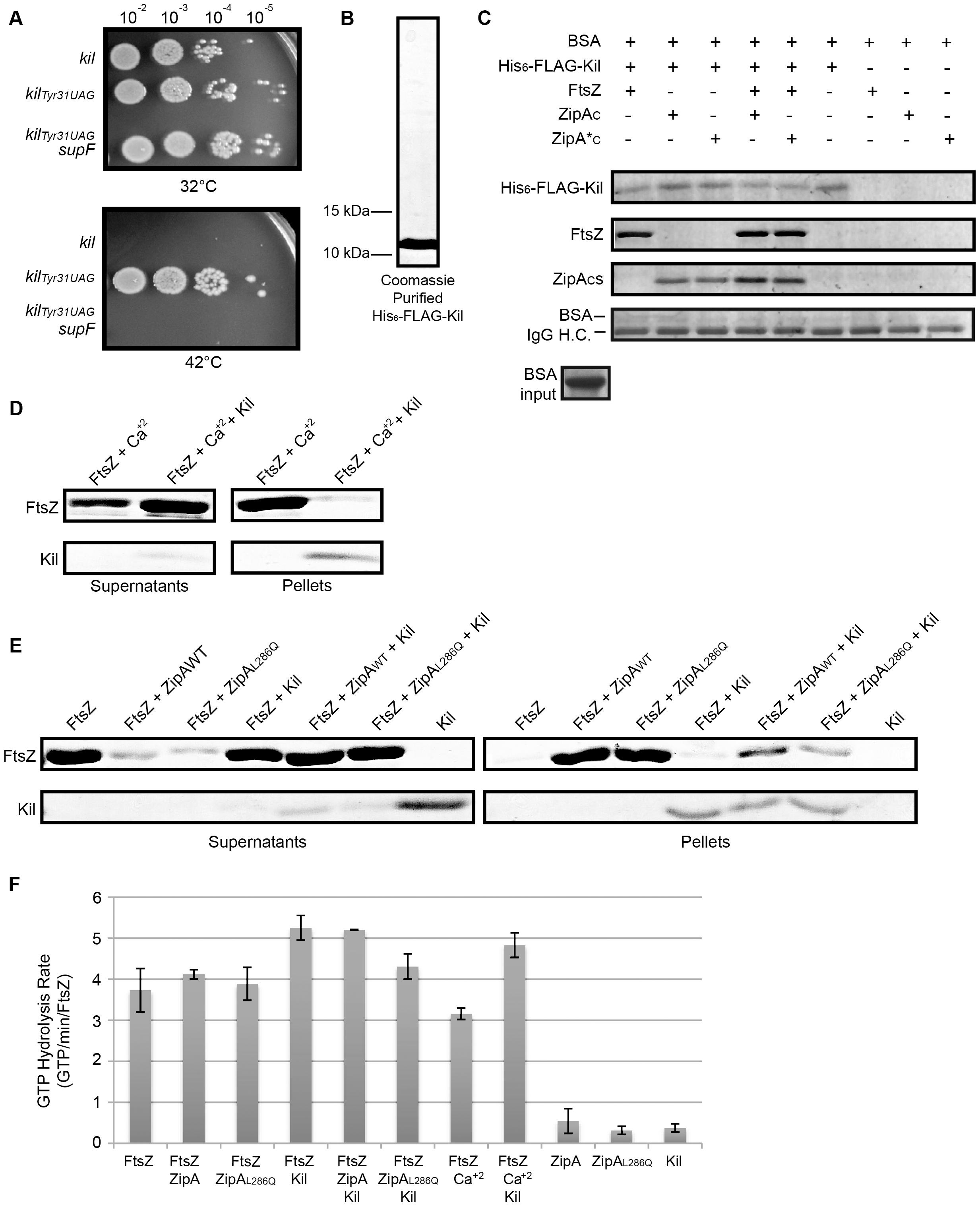 Kil protein copurifies with FtsZ and ZipA and inhibits FtsZ bundling <i>in vitro</i>.