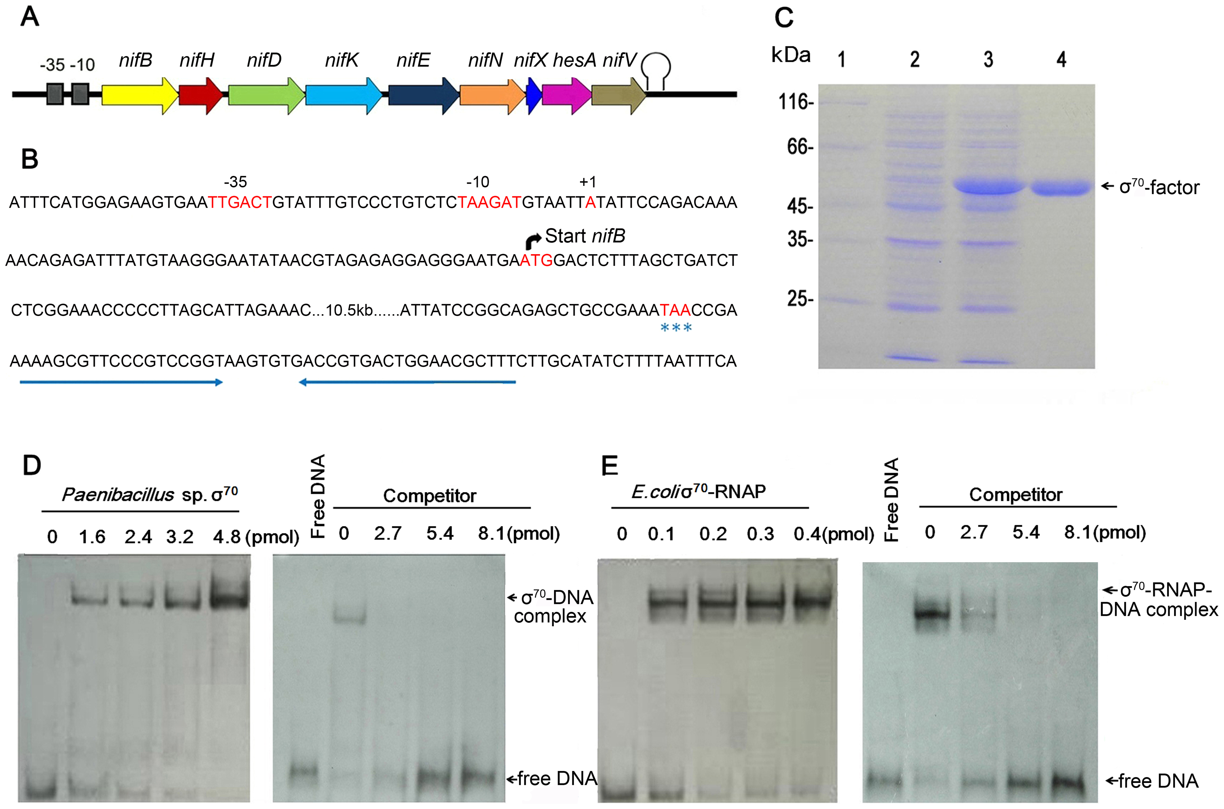 Characterization of the <i>nif</i> promoter of <i>Paenibacillus</i> sp. WLY78.