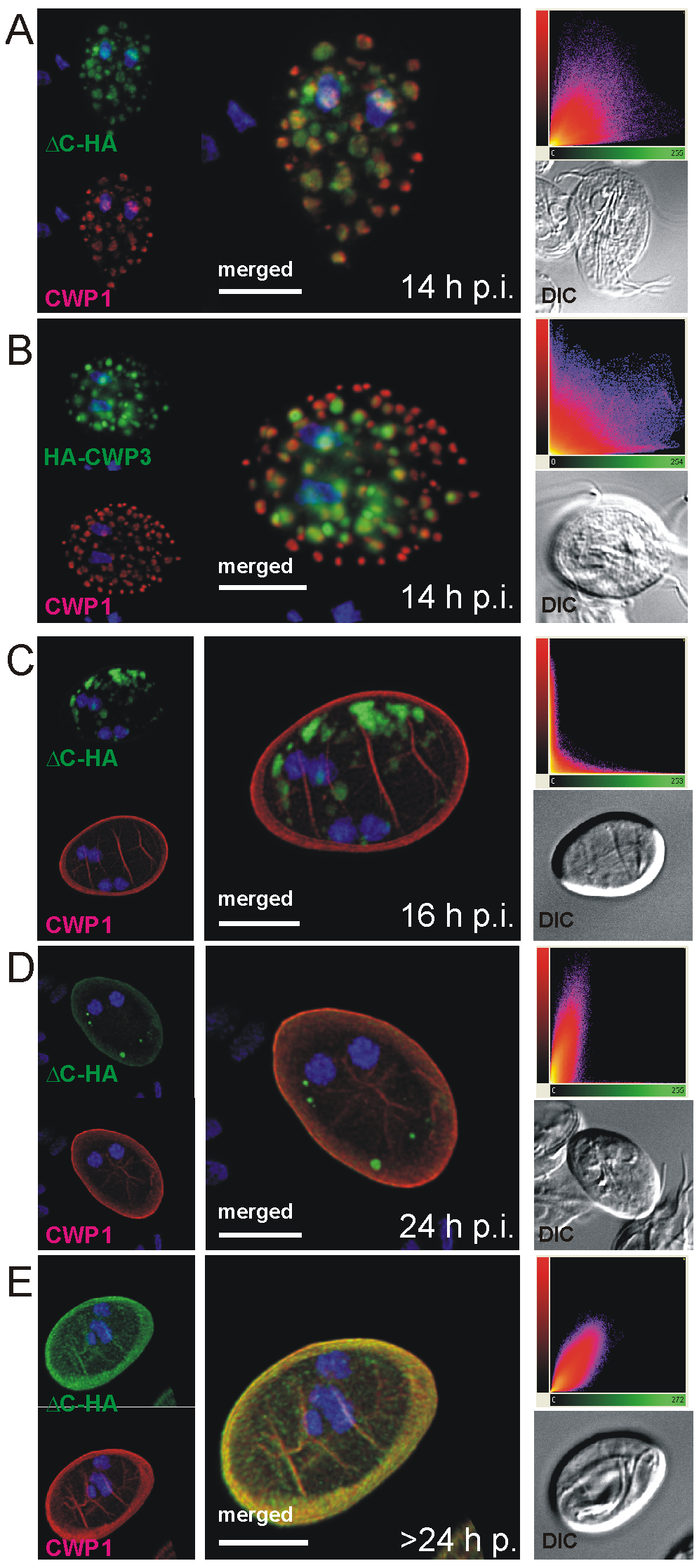 Confocal microscopy of the Flag-CWP2-HA and HA-CWP3 reporters in representative cells during late stages of encystation.