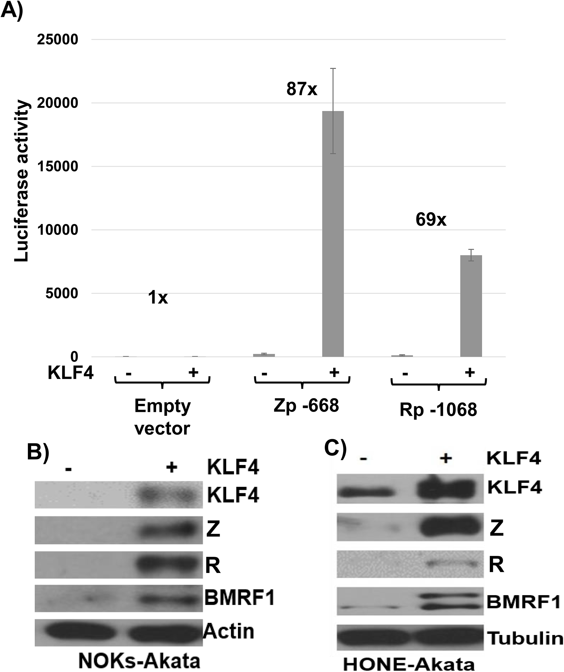 KLF4 activates both the Zp and Rp IE EBV promoters in reporter gene assays and induces lytic EBV reactivation when over-expressed in latently infected epithelial cells.