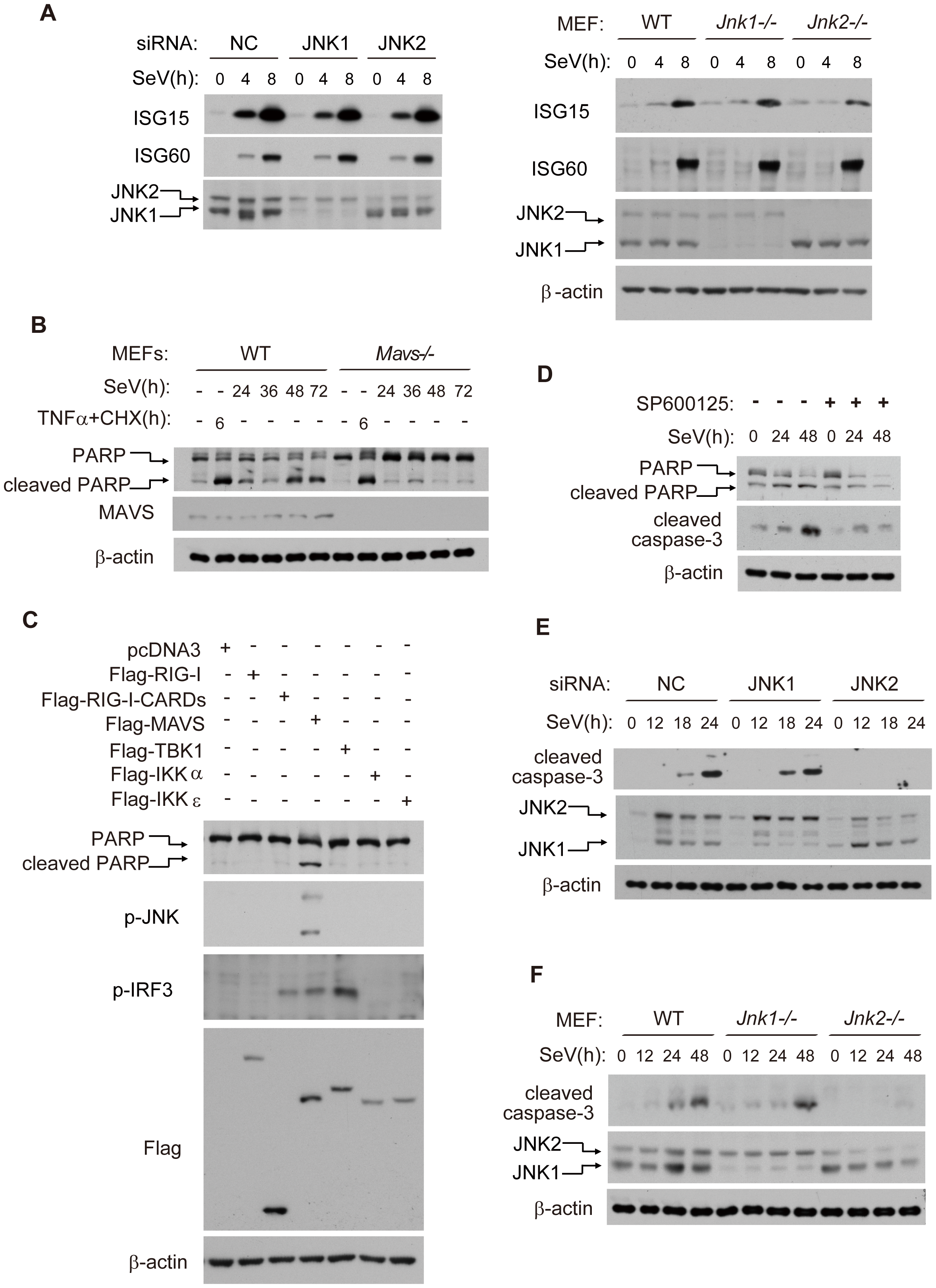 JNK2, but not JNK1, is essential for virus-induced apoptosis.