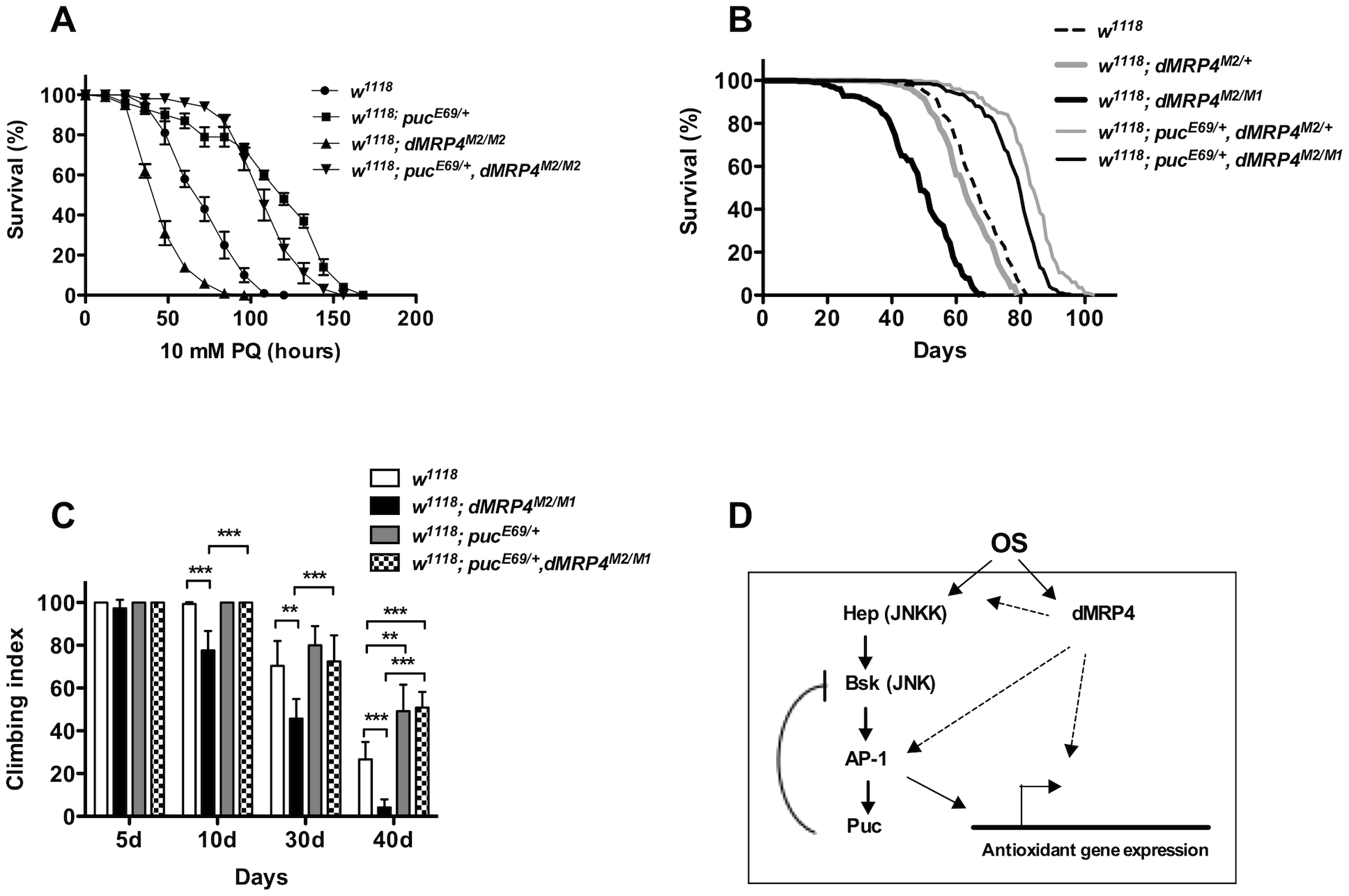 Extending lifespan of <i>dMRP4</i> deficiency by a mild increase in JNK signaling under both paraquat resistance and normal condition.