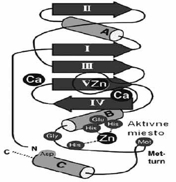 Topológia enzýmu ľudskej neutrofilnej kolagenázy (1jan) zo skupiny metzincin (ß-štruktúra I-V, α-závitnica, dôležité aminokyseliny sú zobrazené v aktívnom mieste) <sup>51)</sup>