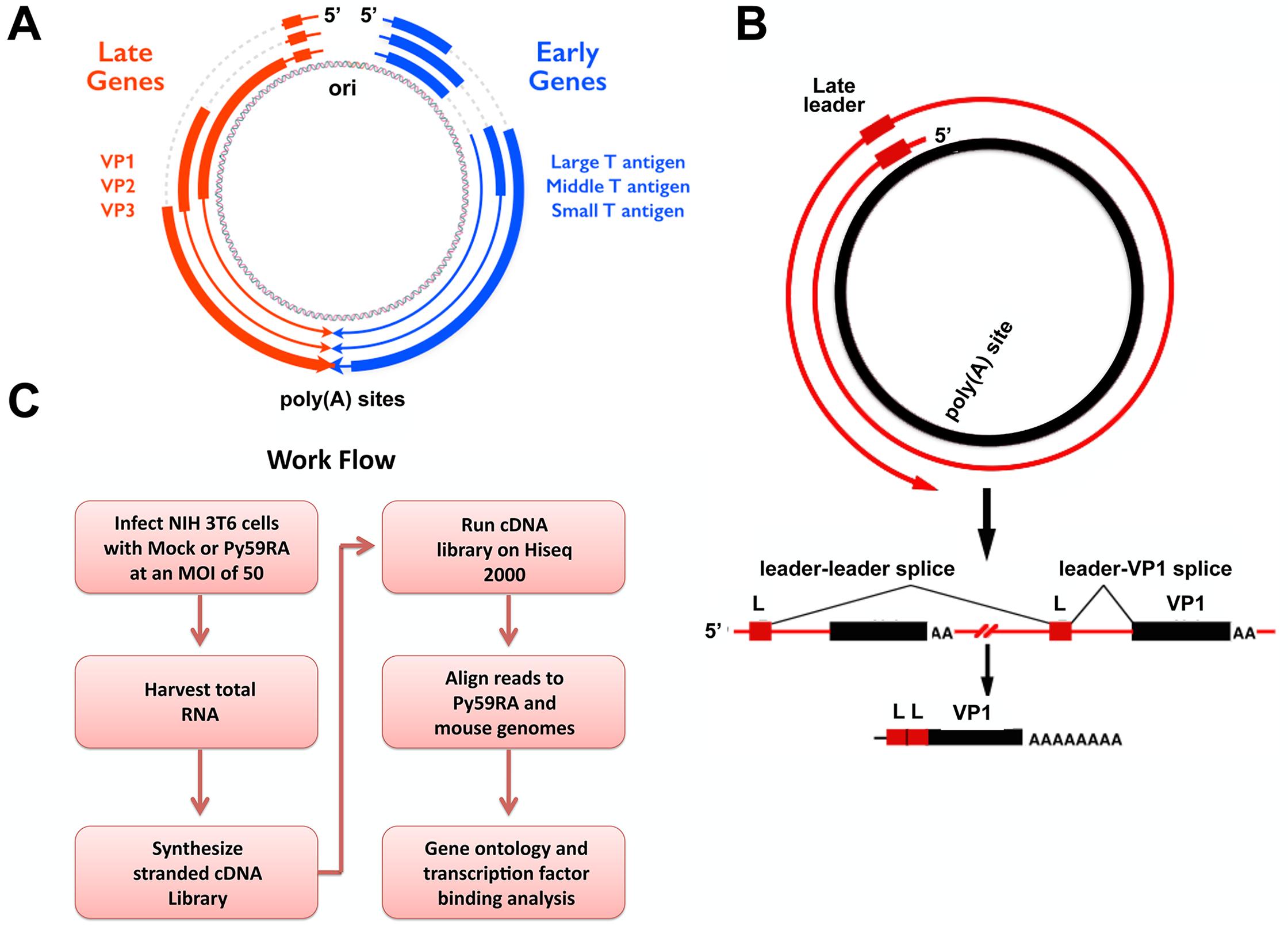 Polyomavirus genome and work flow.