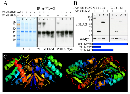 Figure 11.  FAM83H Self Interactions. A: Pull-down assay using FAM83H fused to FLAG (FAM83H-FLAG) or Myc (FAM83H-Myc) epitopes. FAM83H-FLAG and FAM83H-Myc were coexpressed in HEK293 cells. The cell lysate was immunoprecipitated (IP) with an α-FLAG antibody and then fractionated by SDS-PAGE and stained (left) with Coomassie Brilliant Blue (CBB) or (middle) immunoblotted with α-FLAG or (right) α-Myc antibodies. Lane 1: IP when both FAM83H-FLAG and FAM83H-Myc were coexpressed. Lane 2: IP when only FAM83H-FLAG was expressed. Lane 3: IP when only FAM83H Myc was expressed. Lane 4: IP when only empty vector was expressed. The α-FLAG IP pulled down both FAM83H-FLAG and FAM83H-Myc (~130-kDa bands) indicating that FAM83H interacts with itself. (It would only have pulled down FAM83H-FLAG if there were no interaction). The ~50-kDa bands on the western blots (WB) are signals from heavy chain of rabbit IgG used for the α-FLAG IP. B: Pull-down assay coexpressing FAM83H-Myc with three different FLAG-tagged versions of FAM83H: Wild-Type FAM83H (WT; amino acids 1–1209) and two C-terminal truncated FAM83H proteins (T1, amino acids 1–287; T2, amino acids 1–697), or with empty vector (—). The IP products (left) and the initial cell lysates (right) were visualized by western blotting using α-FLAG (top) or α-Myc (bottom) antibodies. All three versions of FAM83H-FLAG pulled down FAM83H-Myc indicating that the first 287 amino acids of FAM83H are sufficient for self-interactions. Bands of ~140-kDa, ~36-kDa, and ~75-kDa are full-length FAM83H, FAM83H<sup>1-287</sup>, and FAM83H<sup>1-697</sup> respectively. C: Predicted human FAM83H<sup>1-287</sup> dimerization model. The interaction model was predicted by SPRING ON-LINE software. The first 287 amino acids of human FAM83H were used as an input. The structure of phospholipase D from S. typhimurium (1byrA) was used as a modeling template. Left: Side view. Right: Top view.