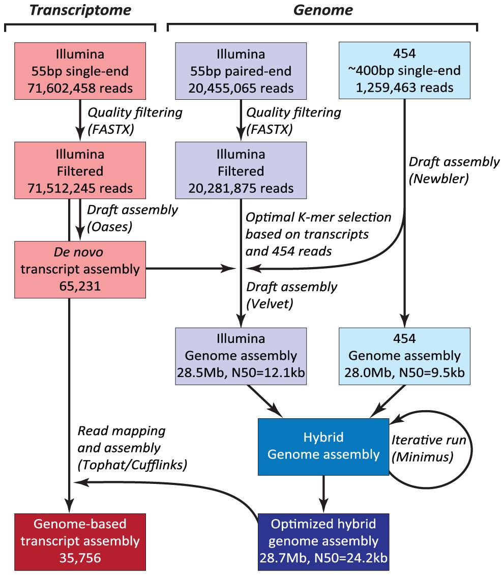 Hybrid assembly strategy using Illumina and 454 reads.