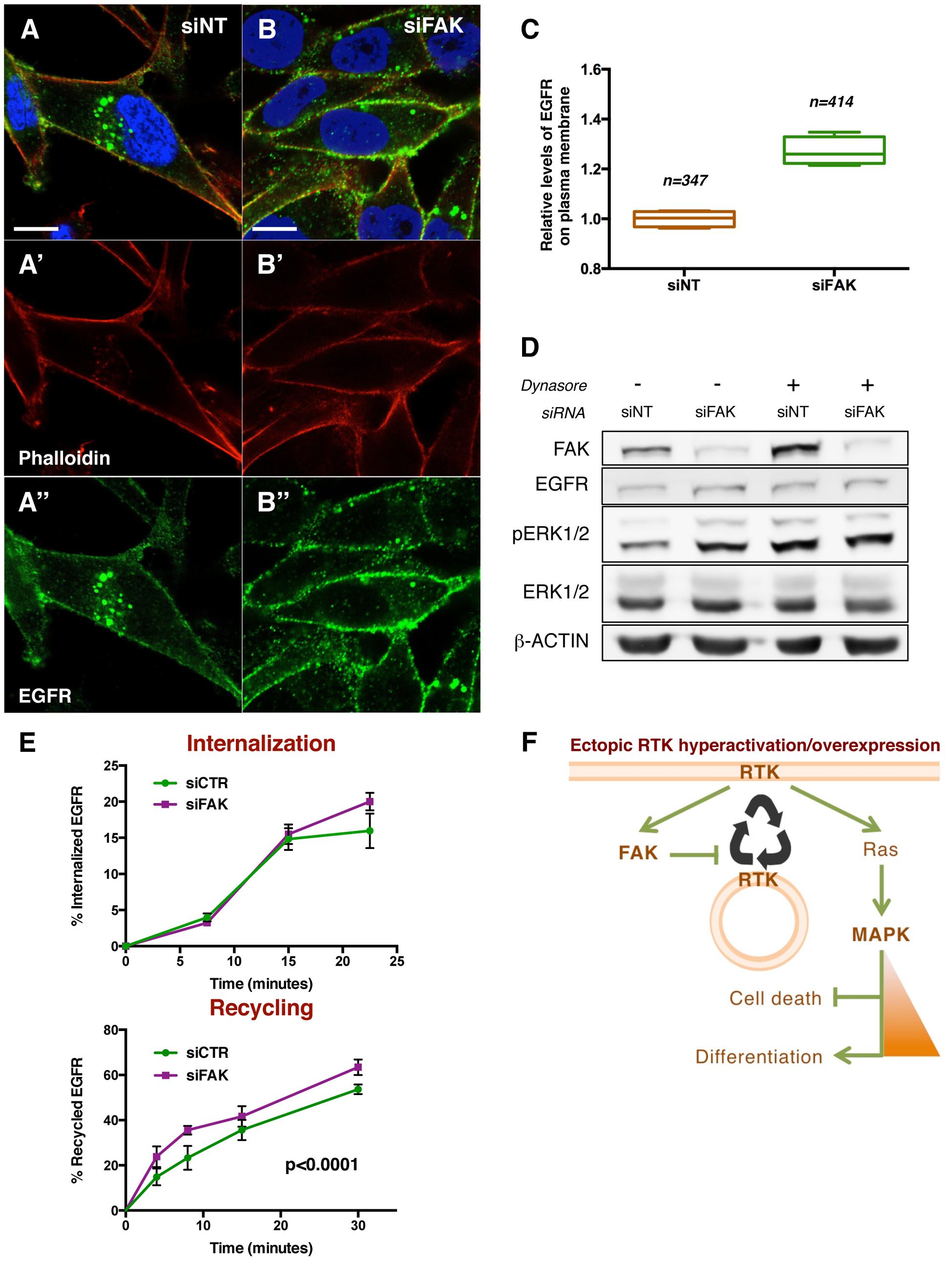 FAK decreases EGFR at the plasma membrane via reduced recycling.