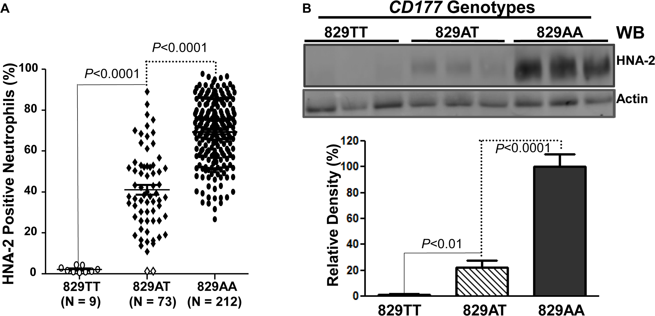 Association of <i>CD177</i> SNP 829A&gt;T with HNA-2 expression.