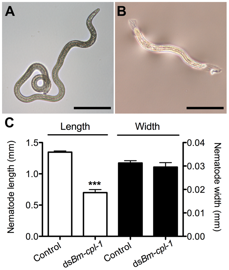 <i>Bm-cpl-1</i>-suppressed <i>B. malayi</i> are significantly shorter than control worms.