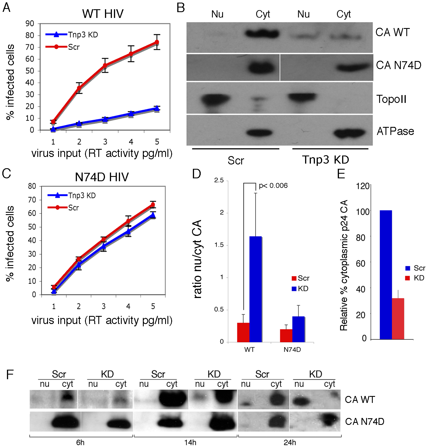 Tnp3 affects the nucleo-cytoplasmic distribution of CA.