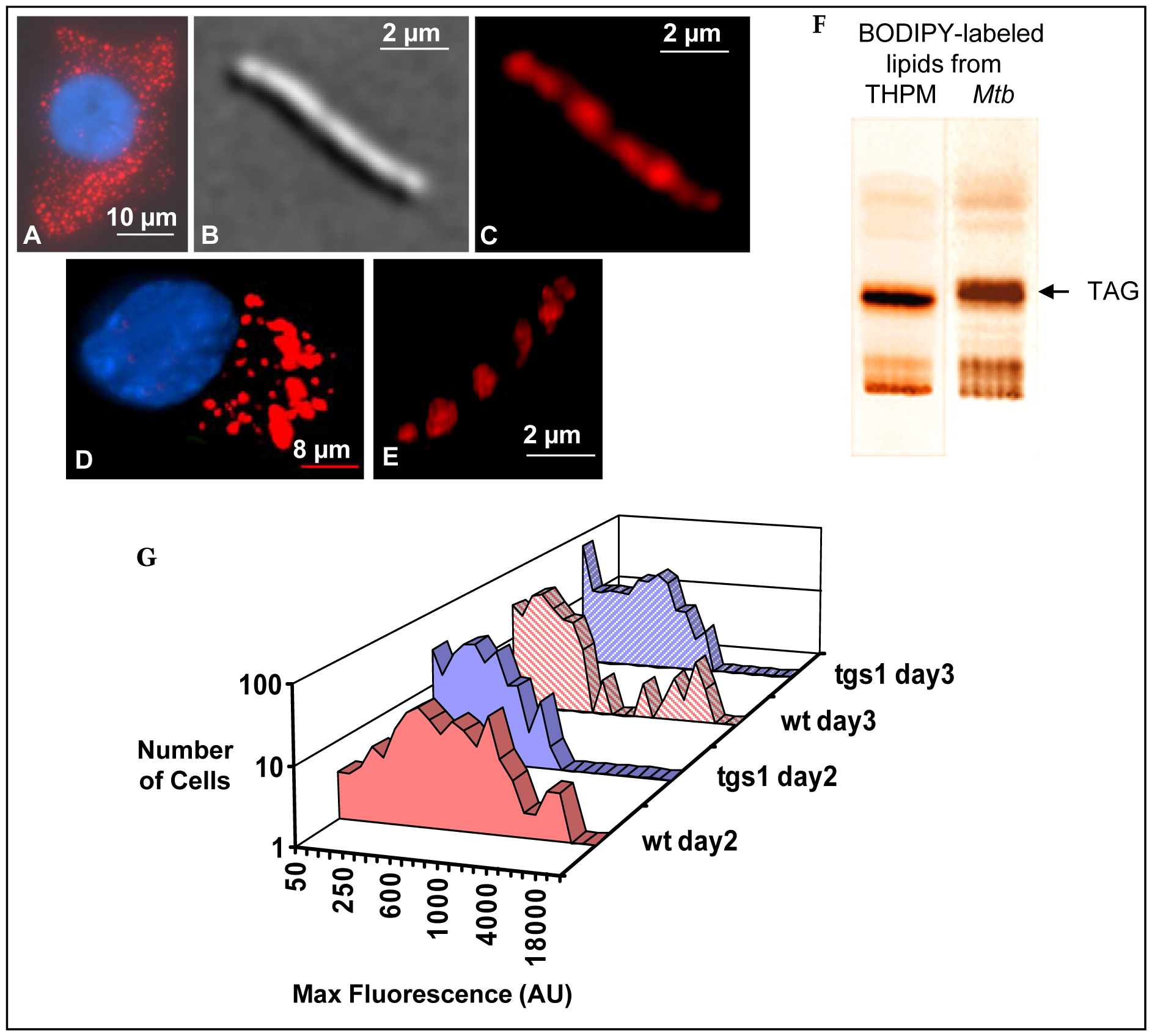 <i>Mtb</i> mobilizes macrophage triacylglycerol labeled with fluorescent fatty acid and accumulates fluorescent intracellular lipid droplets.