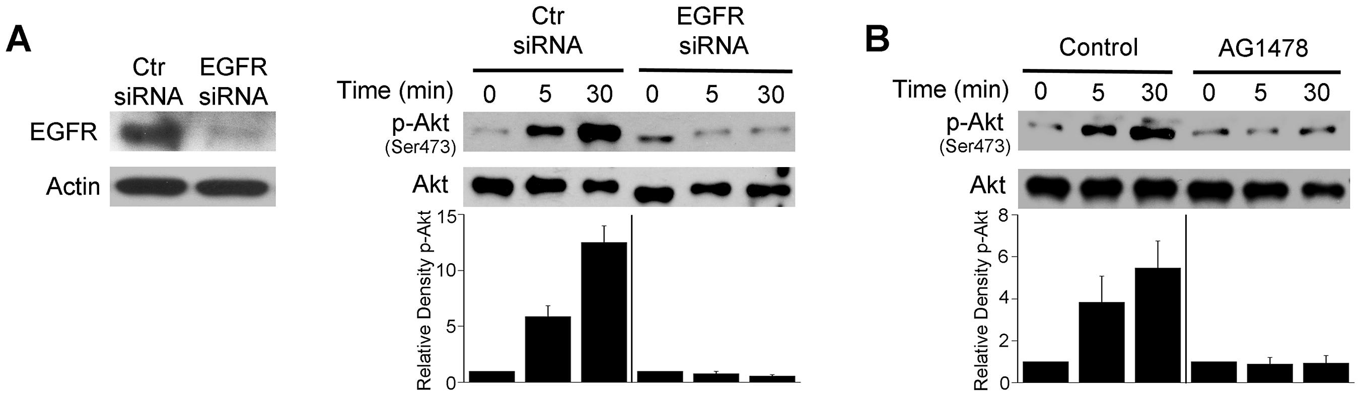 EGFR mediates Akt activation induced by <i>T. gondii</i>.
